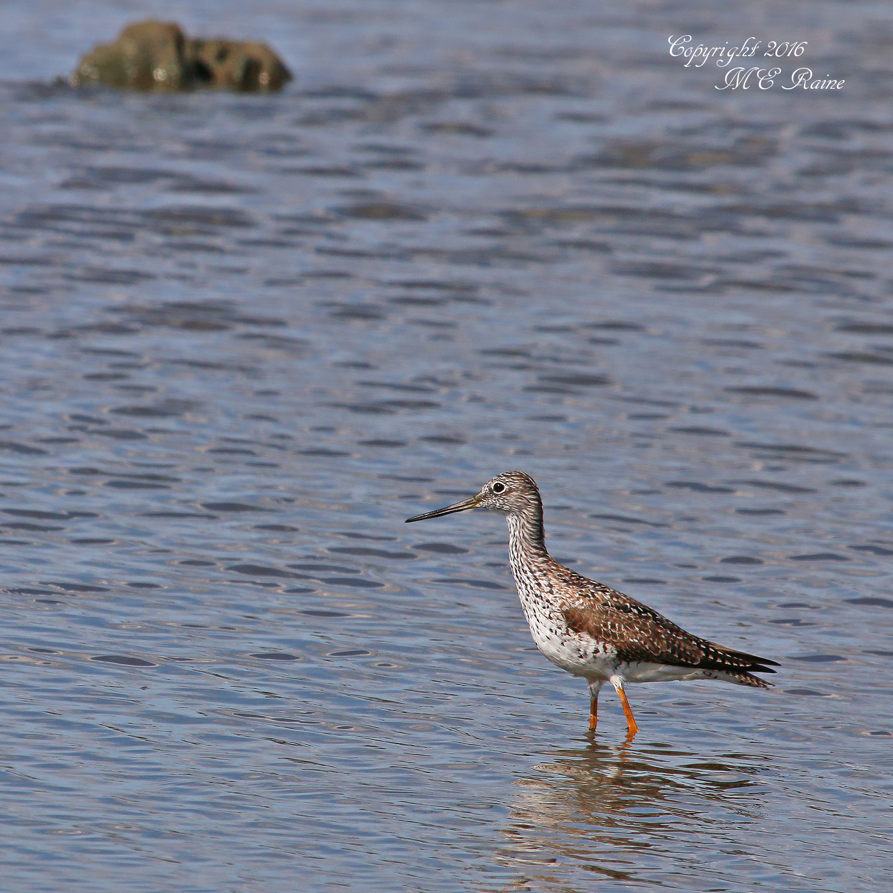 MCM Greater yellowlegs mickey 4.1.16