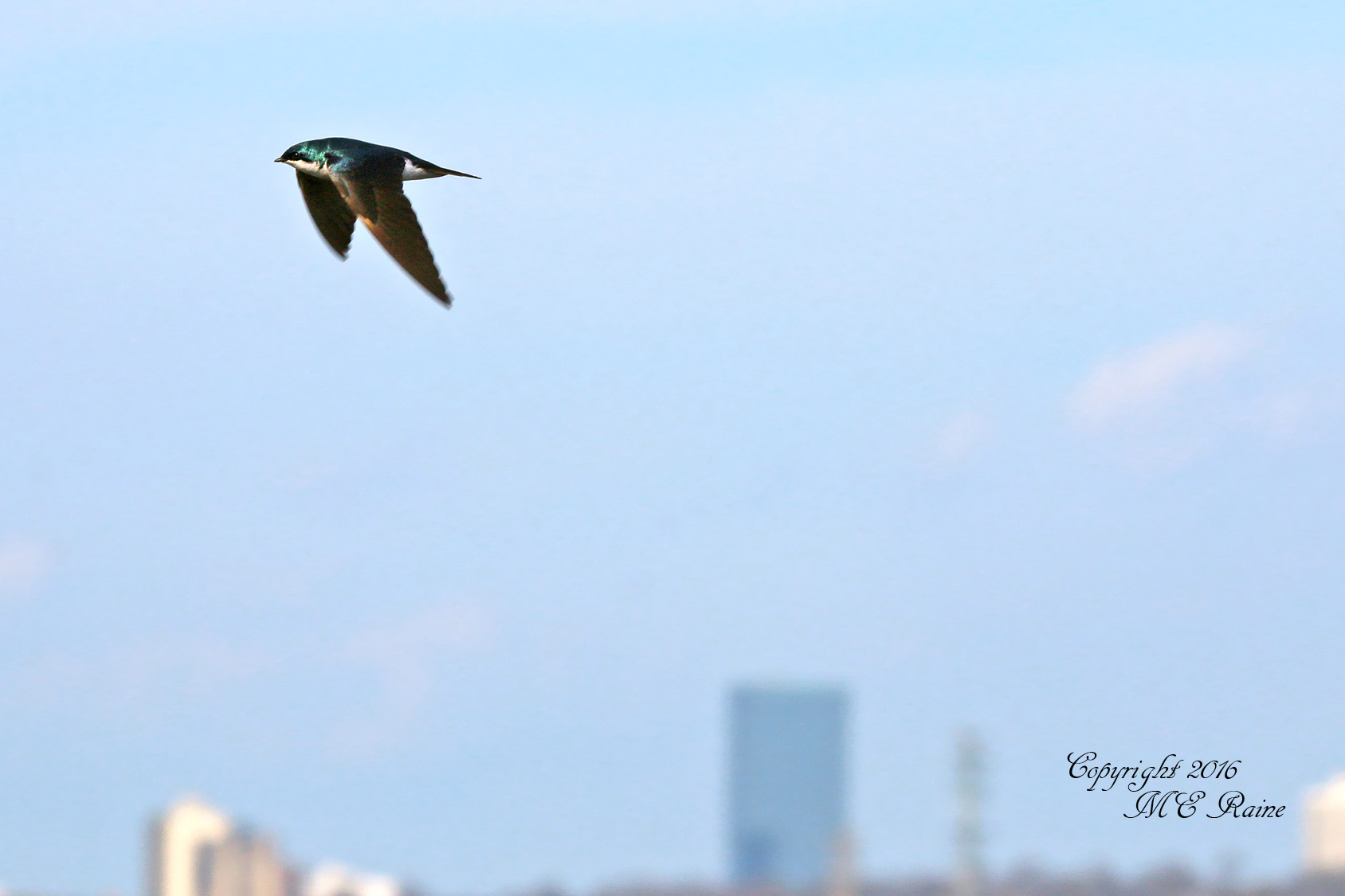 MCM Tree Swallow 3 Mickey 4.1.16