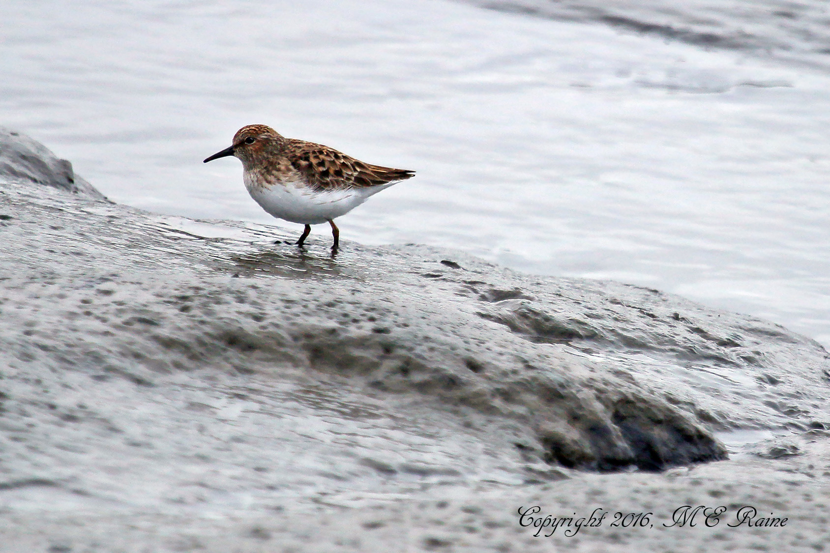 Sandpiper Least 021f MCM Mdwlnds NJ 042716 OK FLICKR (3)