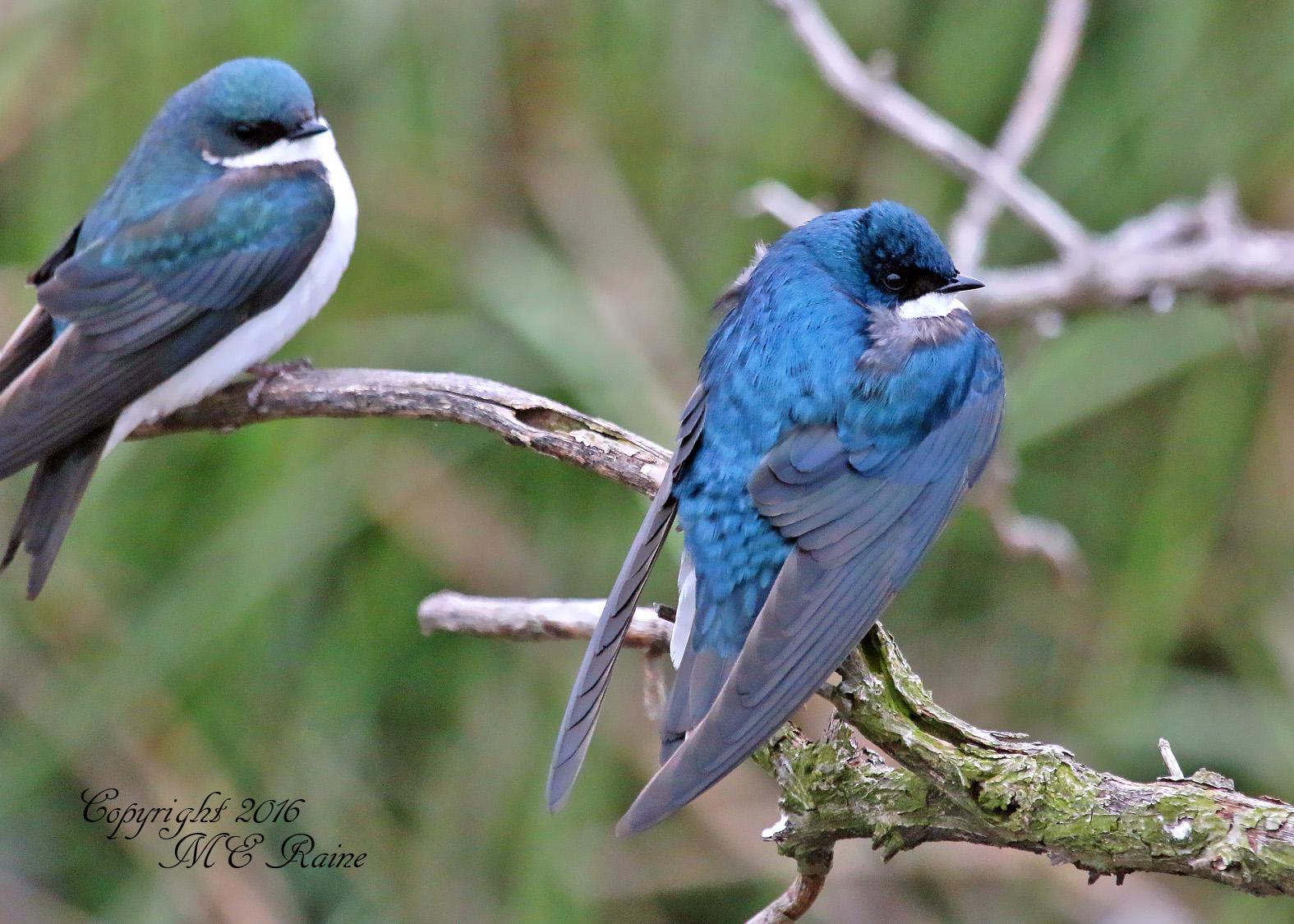 Swallow Tree MCM 4.26.16