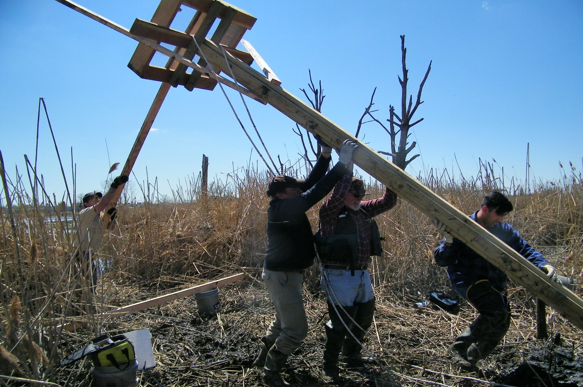 osprey nest construction4