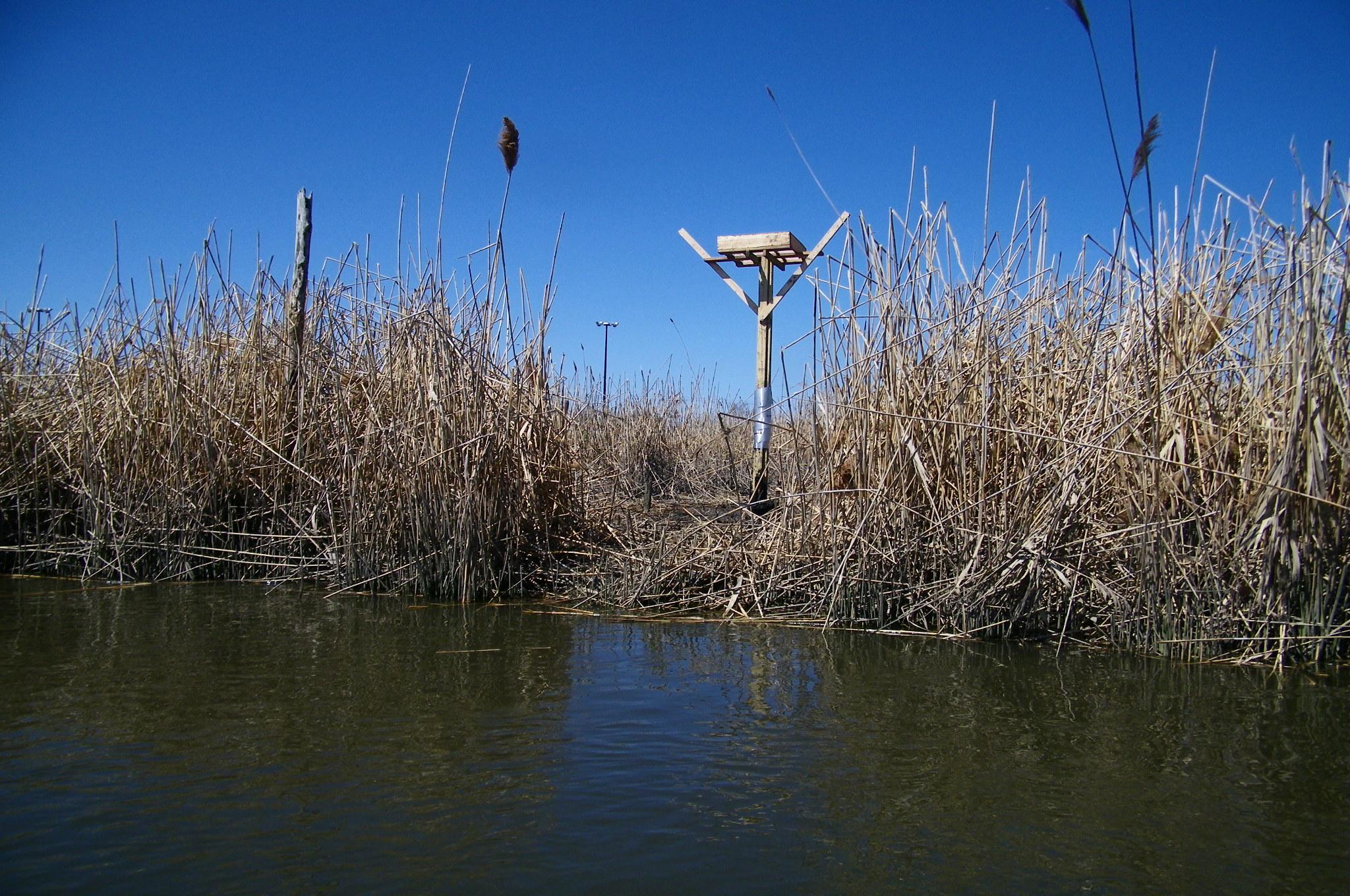 osprey nest construction5