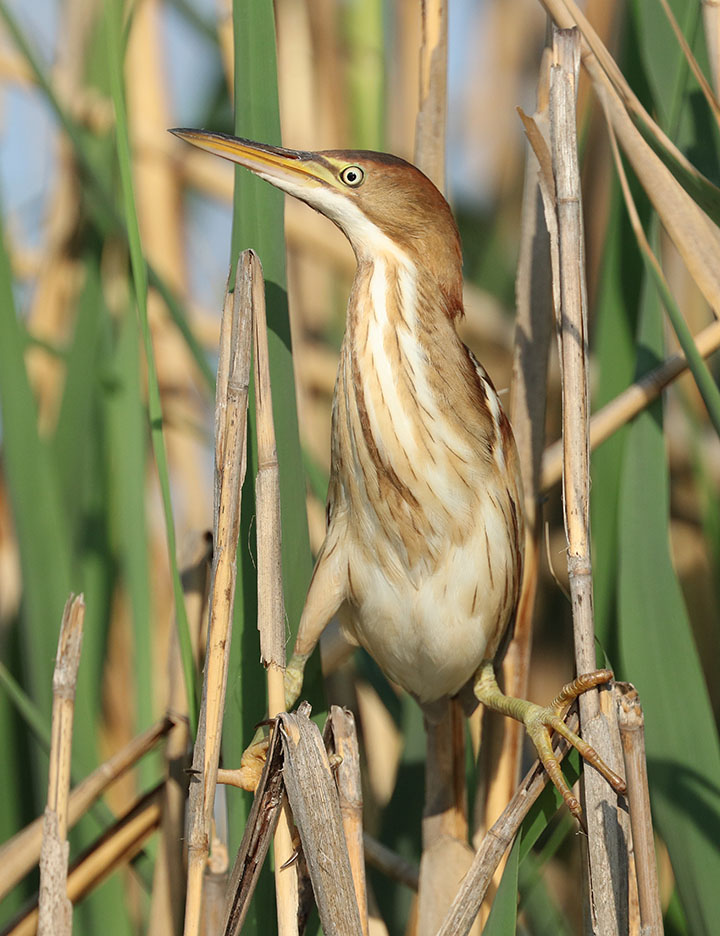 Least Bittern2 Ron Shields Kearny Marsh 5.28.16