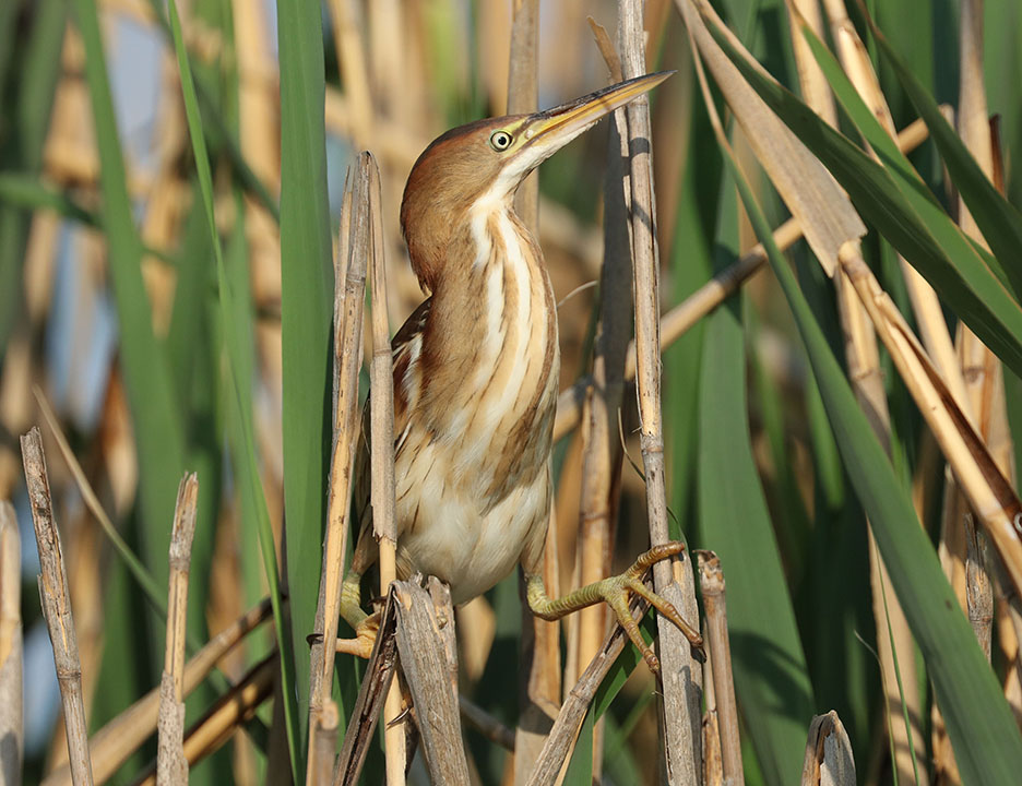 Least Bittern3 Ron Shields Kearny Marsh 5.28.16