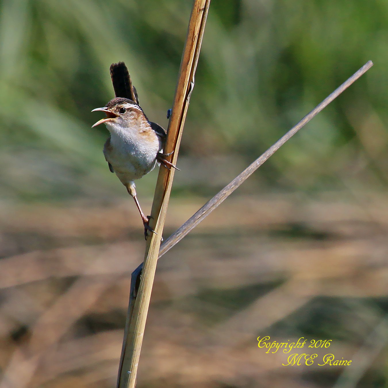 Marsh Wren Mill Creek Marsh