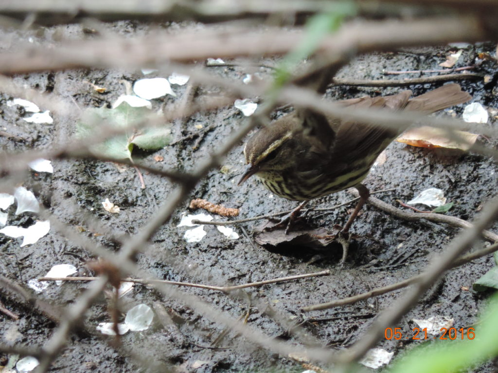 Northern Waterthrush Rich Brown Losen Slote 5.21.16