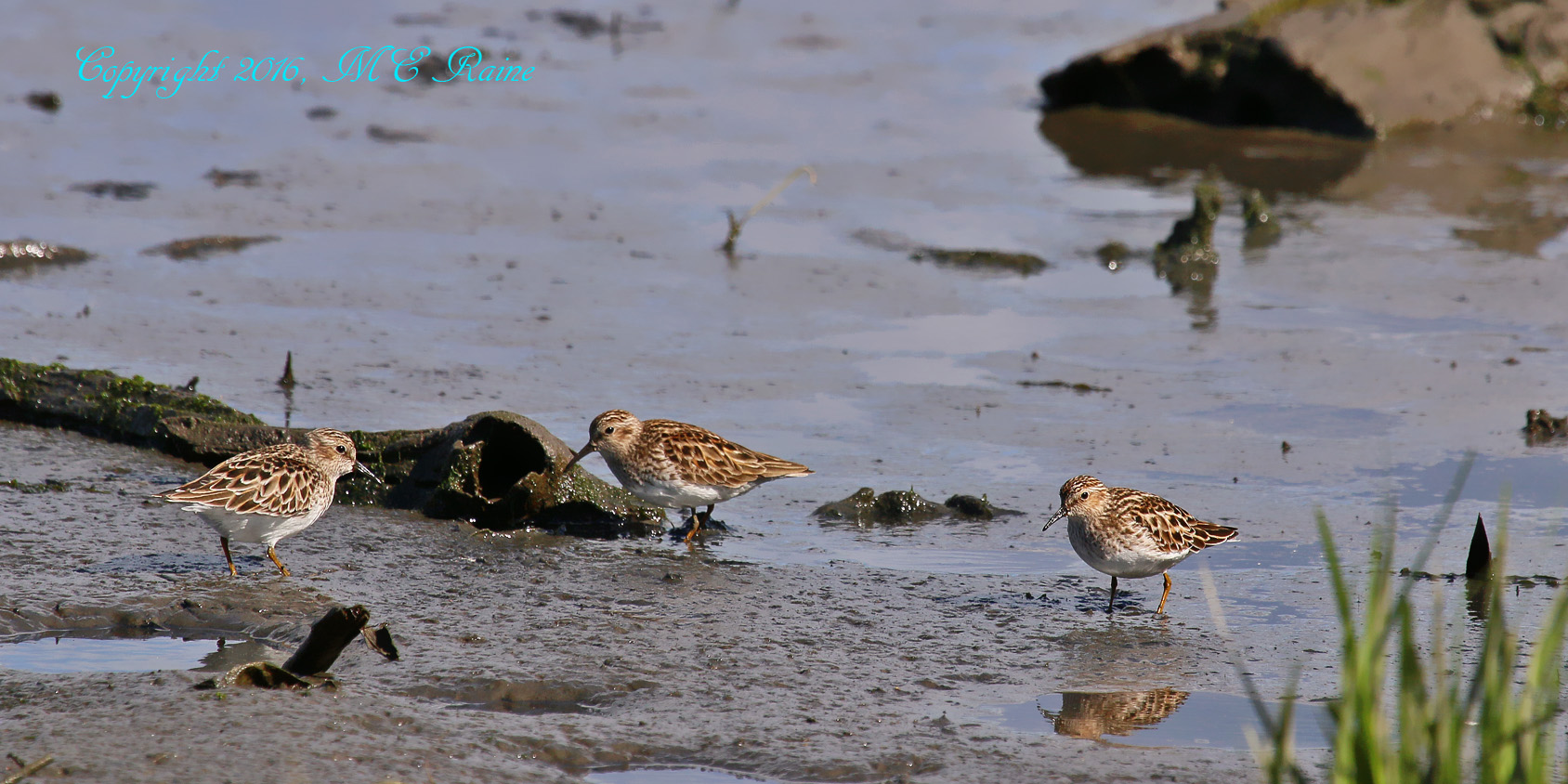 Semipalmated Sandpipers