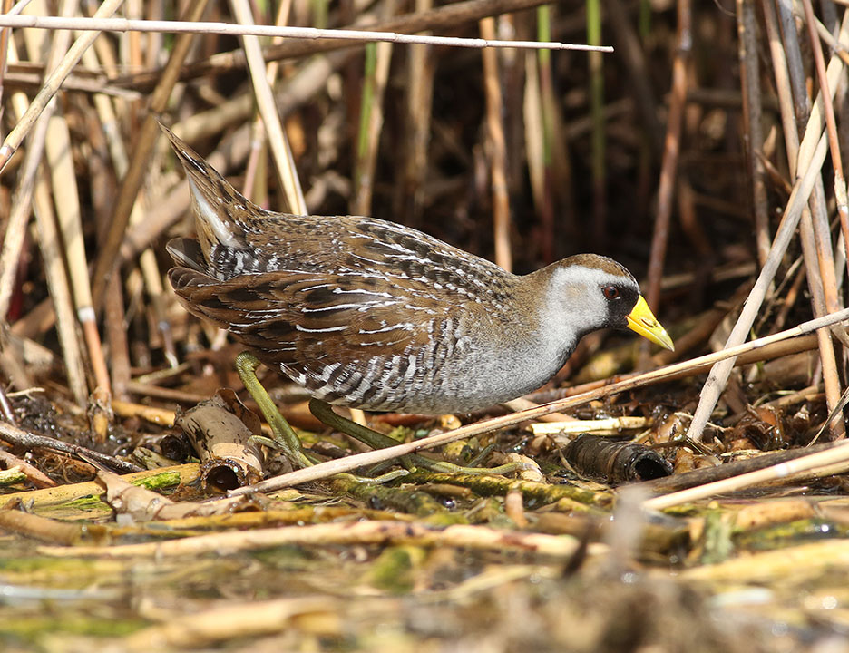 Sora3 Kearny Marsh Ron Shields 5.11.16