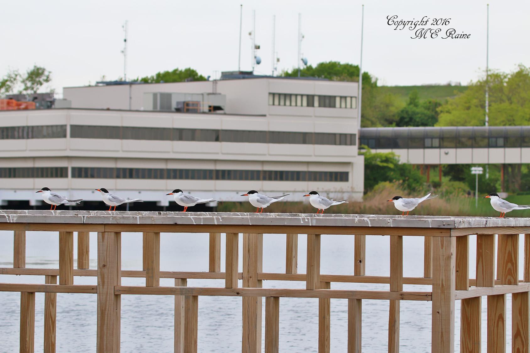 Tern Forster's 016bf RchrdDKorte Park Mdwlnds NJ 051016 OK FLICKR