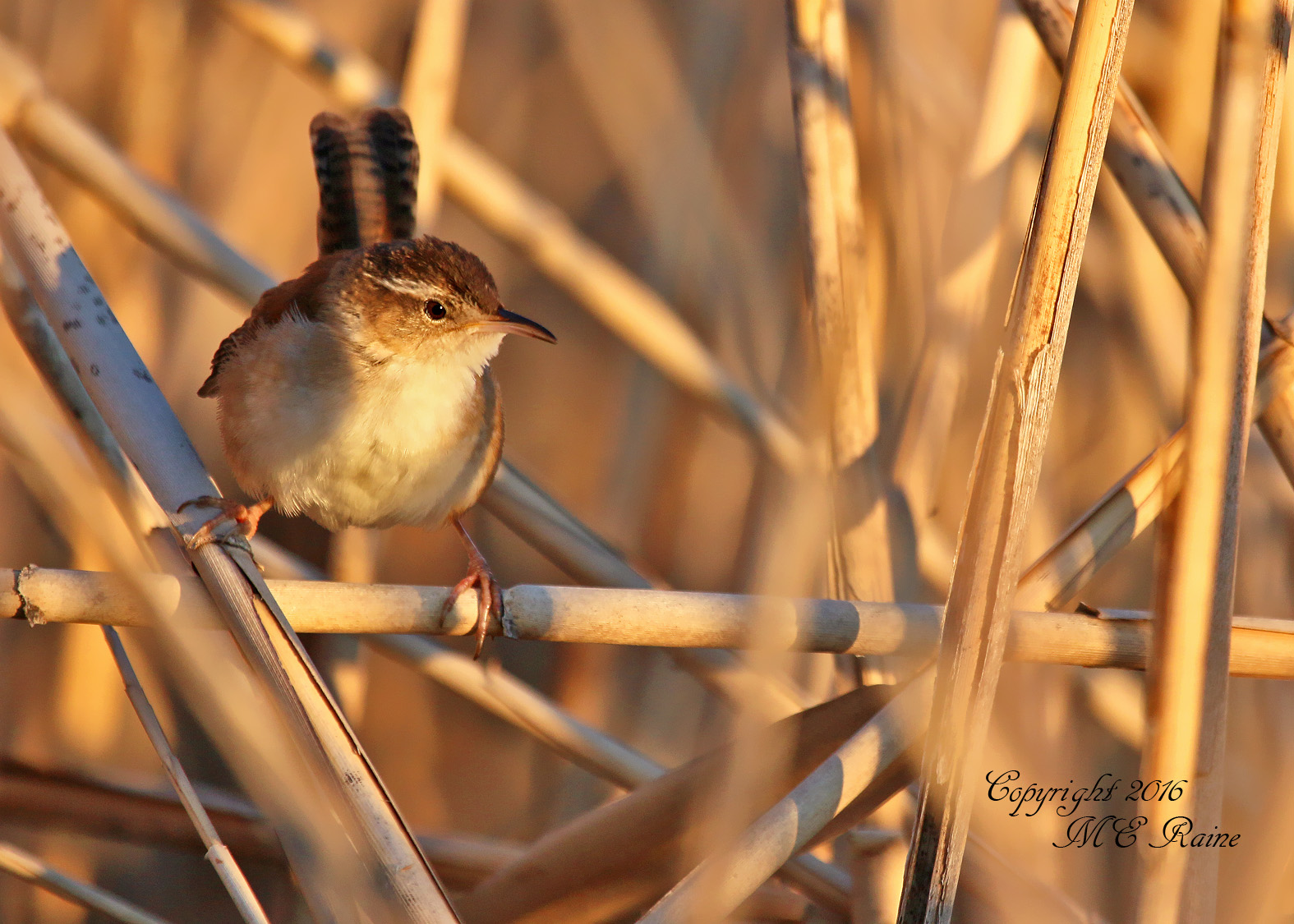marsh wren dekorte mickey raine 5.15.16