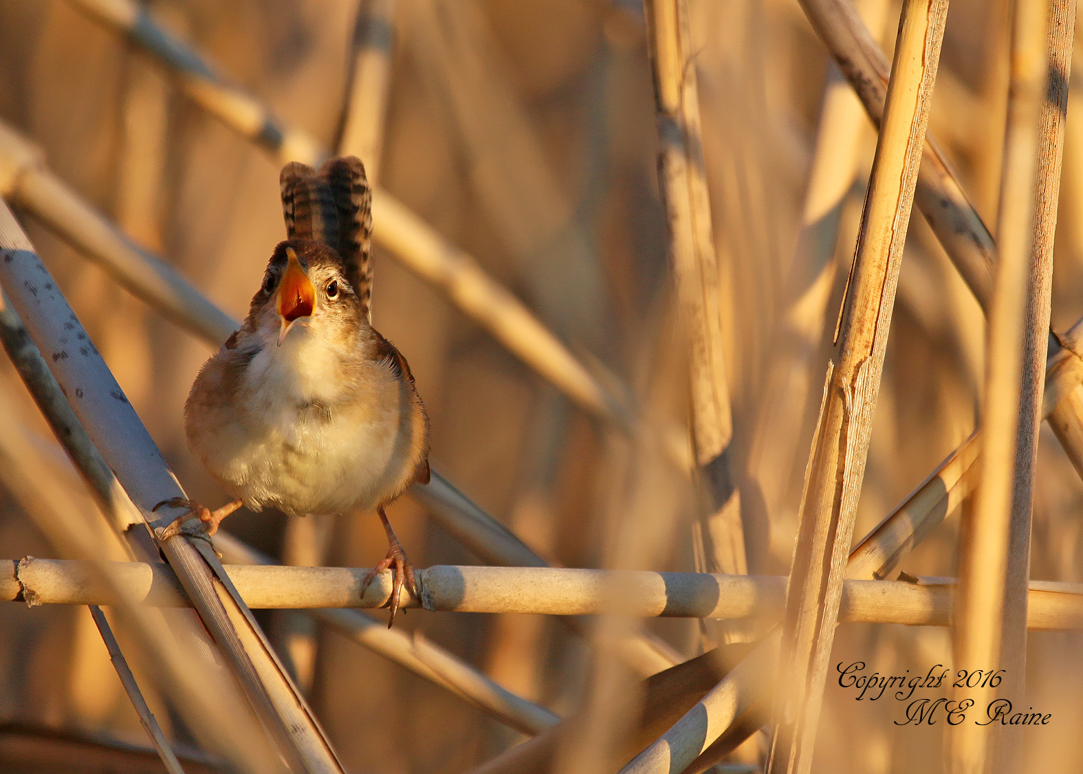 marsh wren mickey dekorte 5.15.16