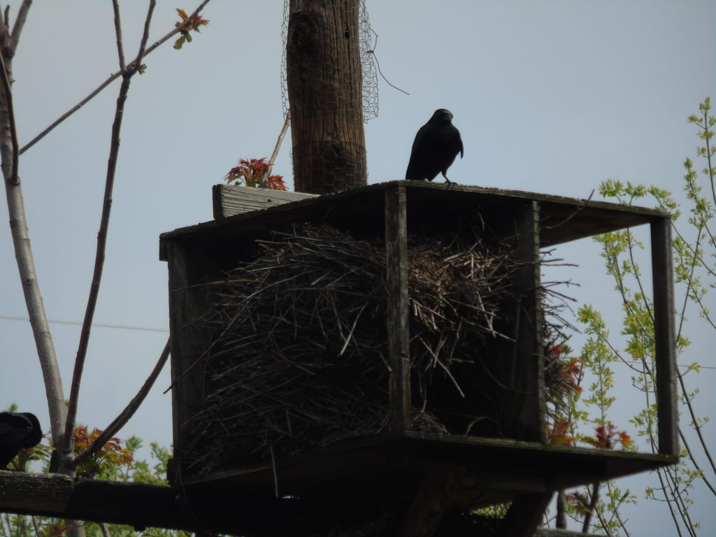 mother monk nest fish crow