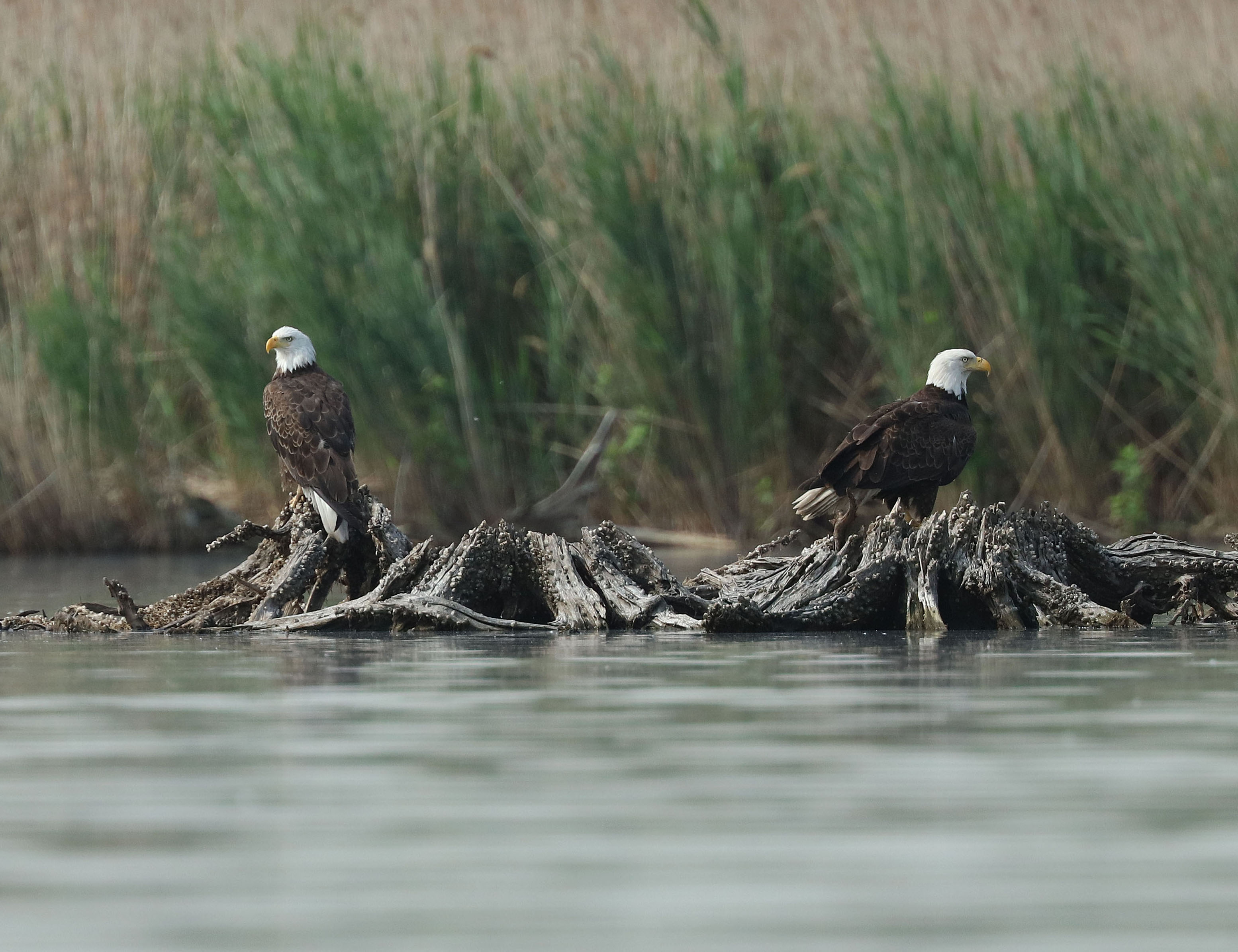 Bald Eagles Kearny Marsh Ron Shields 6.16