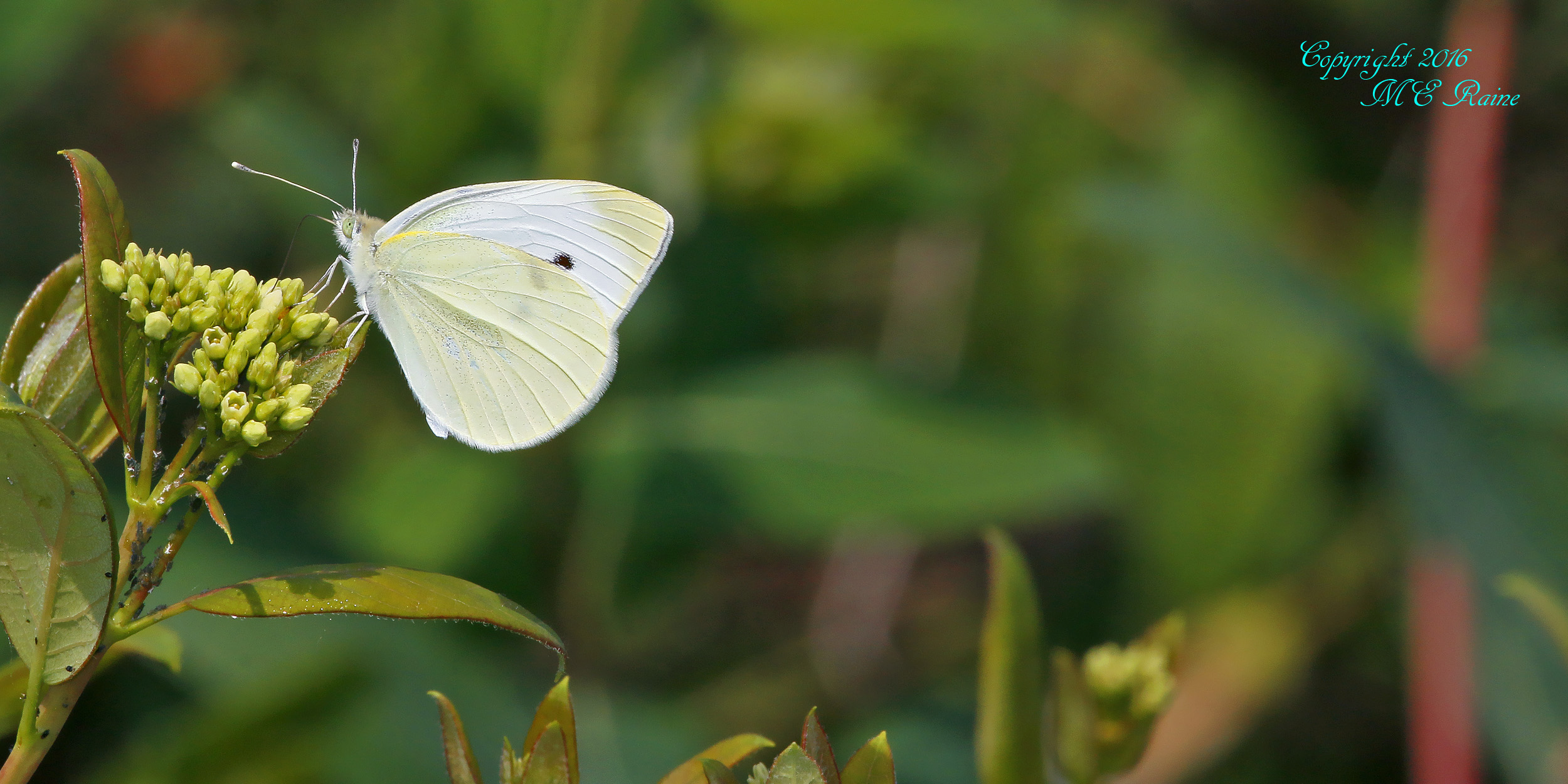Cabbage White MCM 6.11.16 Mickey Raine