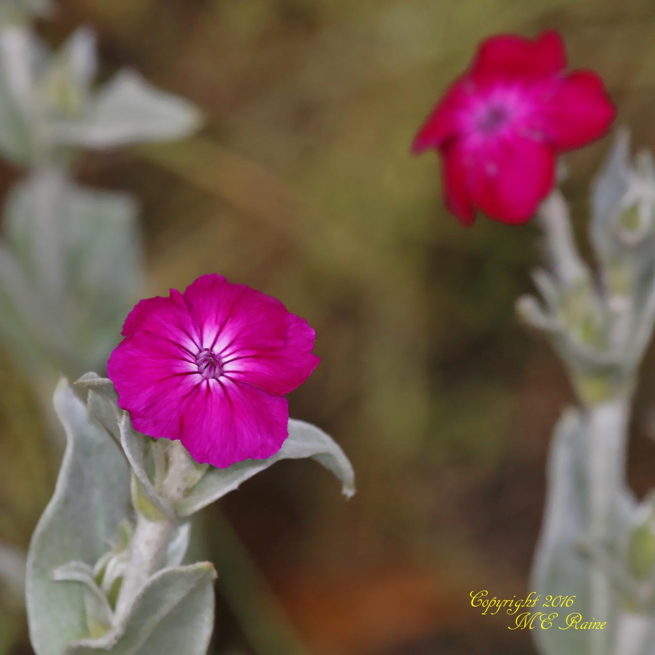 Campion Rose