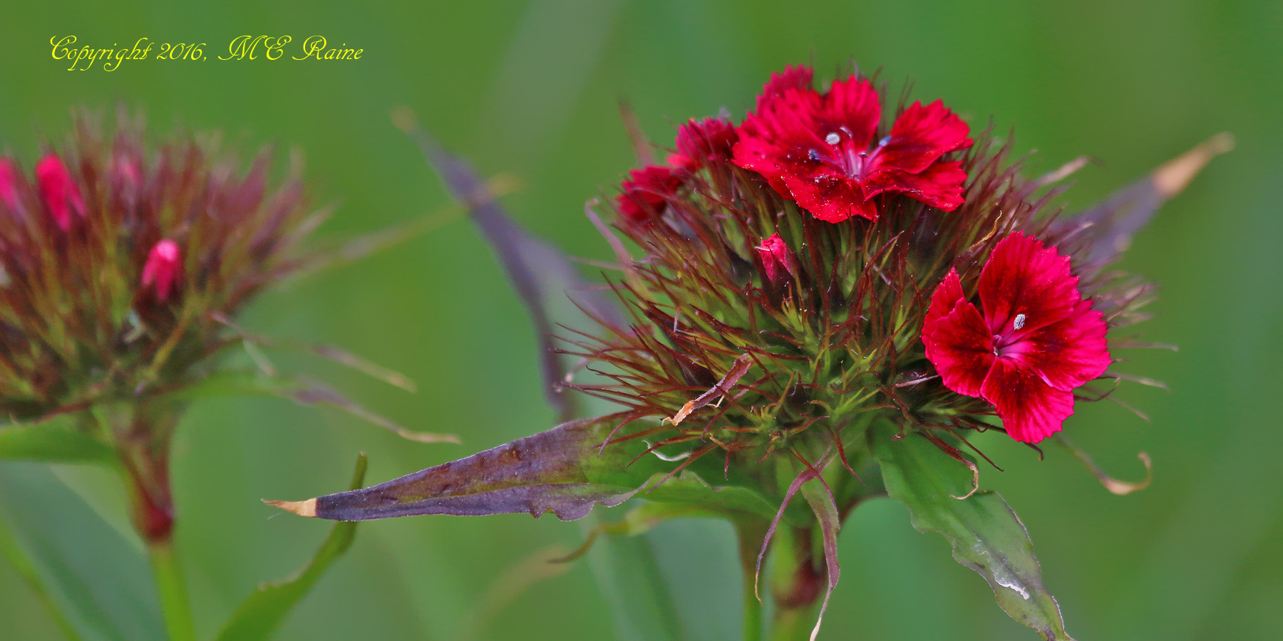 Dianthus Sweet William Mill Creek Marsh