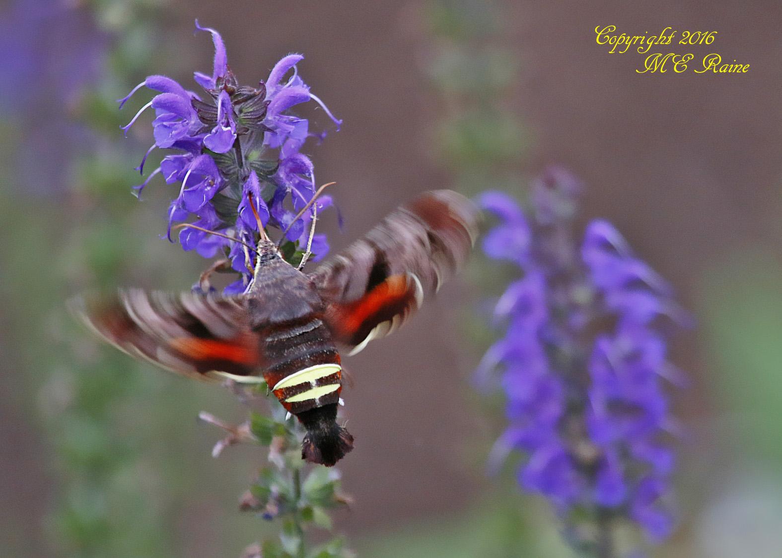 Hummingbird Moth - DeKorte Park