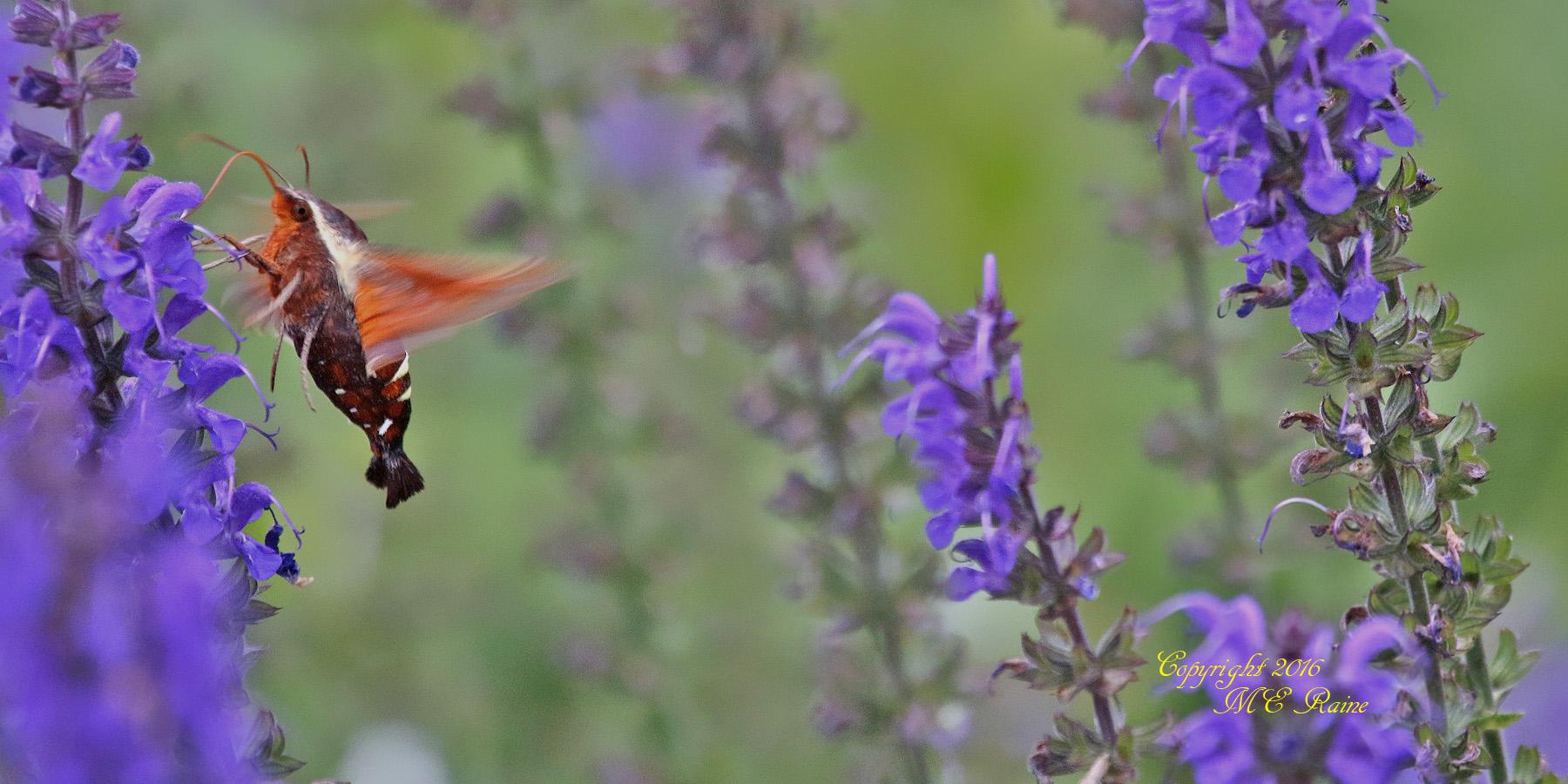 Hummingbird Moth3 DeKorte 5.30.16