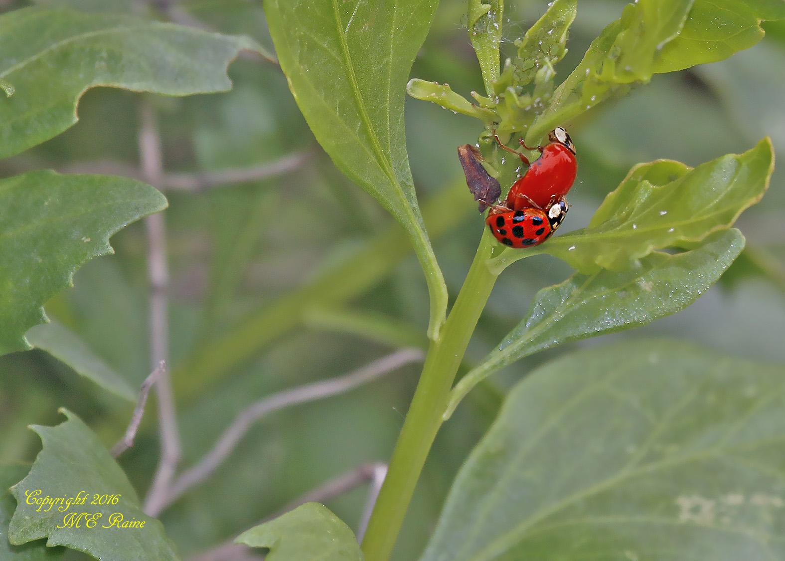 Ladybug3 MCM 5.30.16