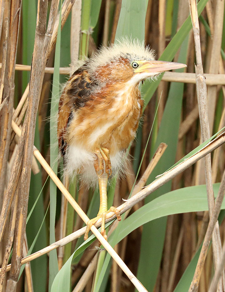Least bittern young Ron Shields Kearny Marsh 6.16