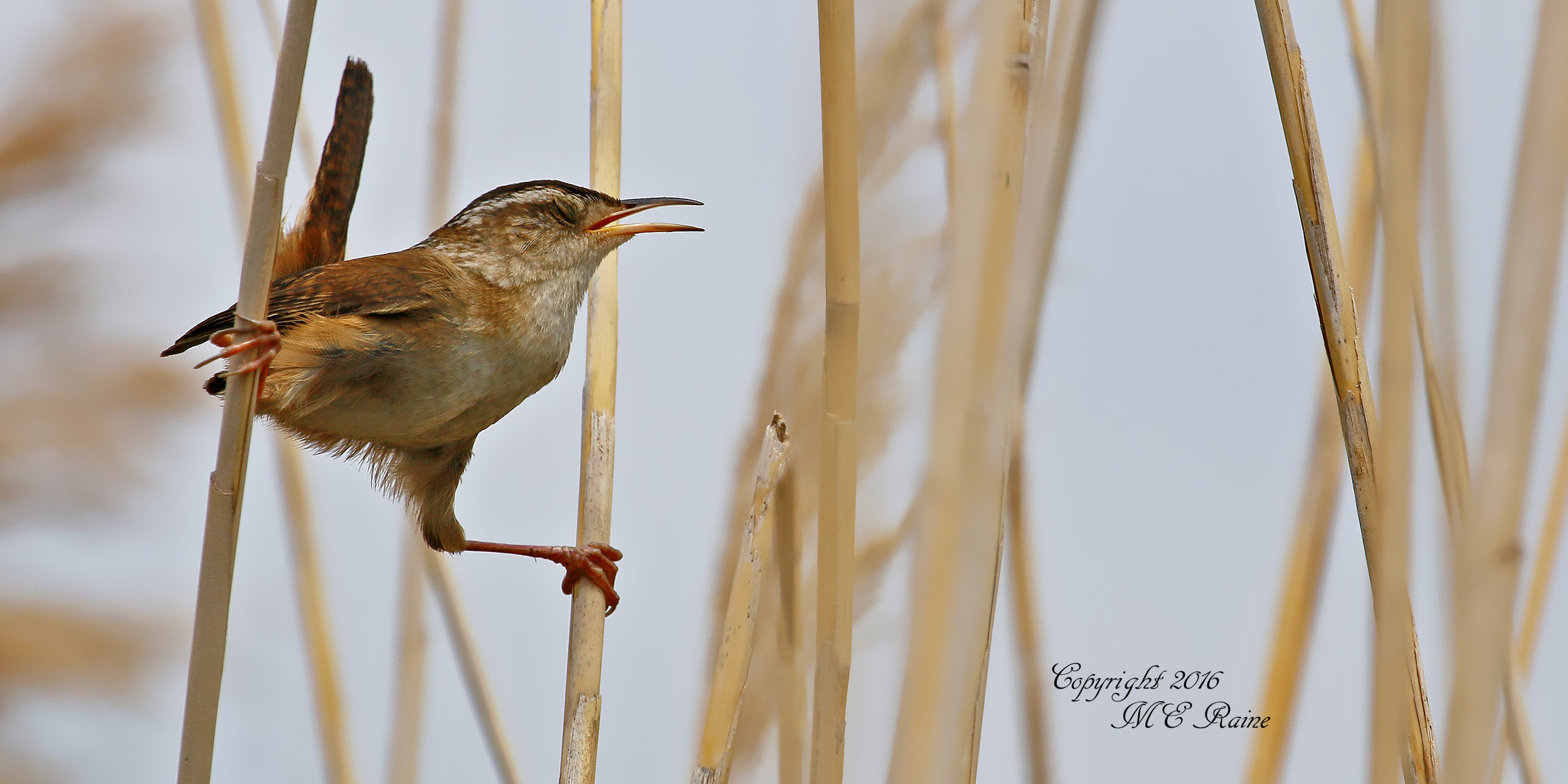 Marsh Wren Iron Cross Pose2 DeKorte 6.4.16