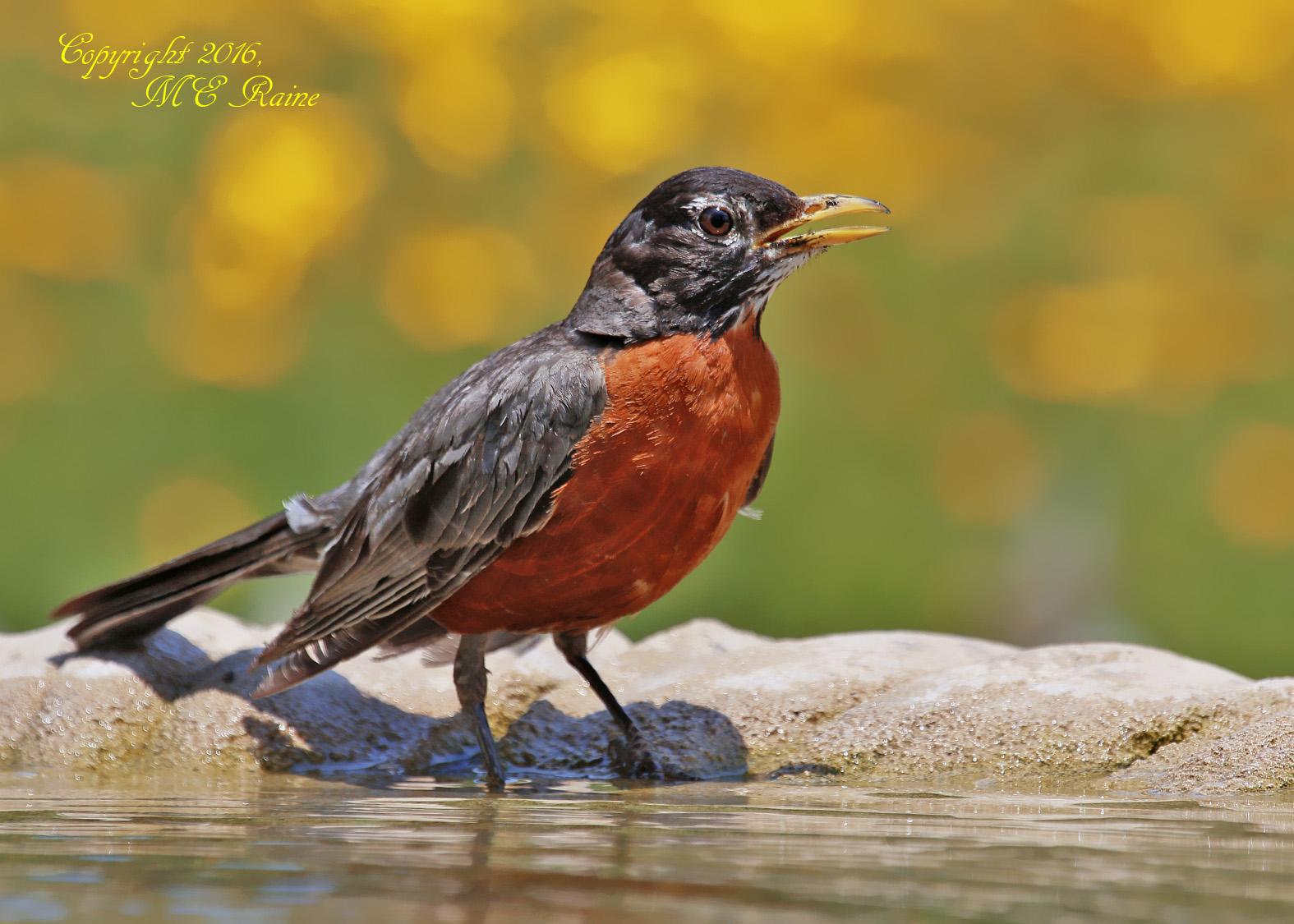 Robin 6.19.16