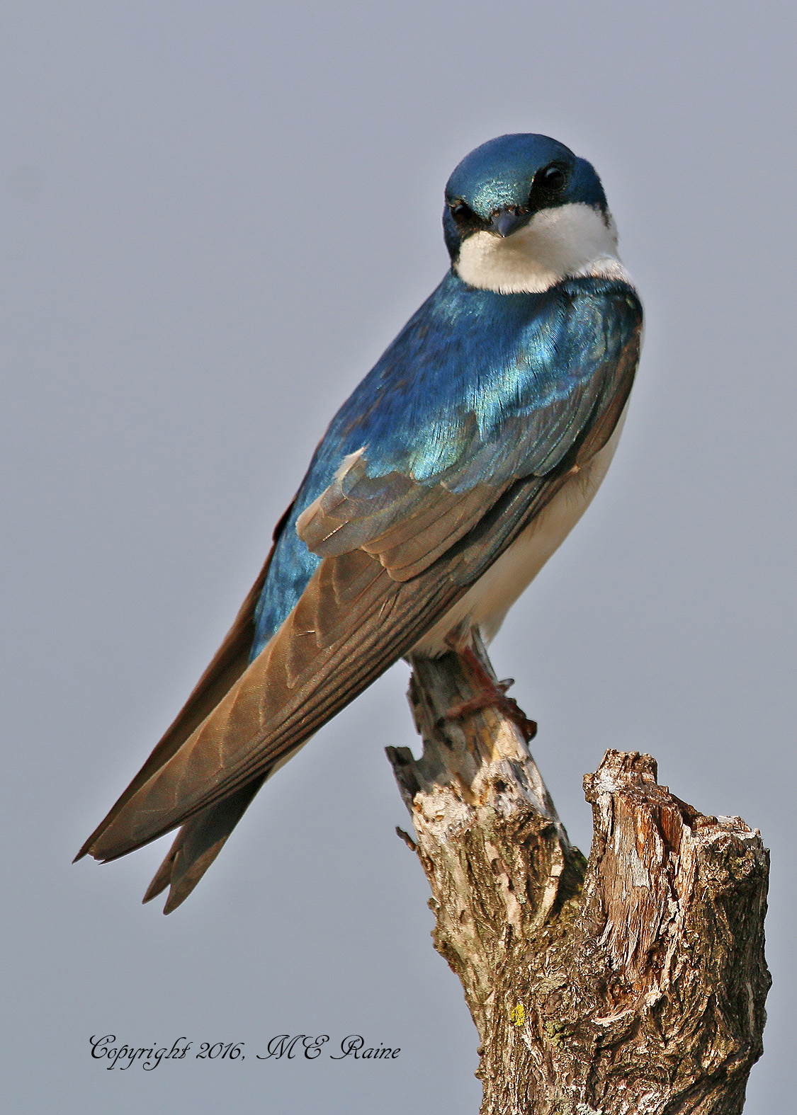 Tree Swallow DeKorte Park