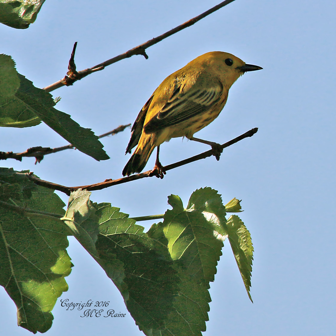 Yellow Warbler Mill Creek Marsh