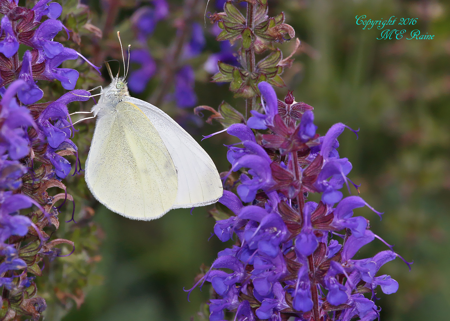 White Cabbage Butterfly4 DeKorte  5.31.16