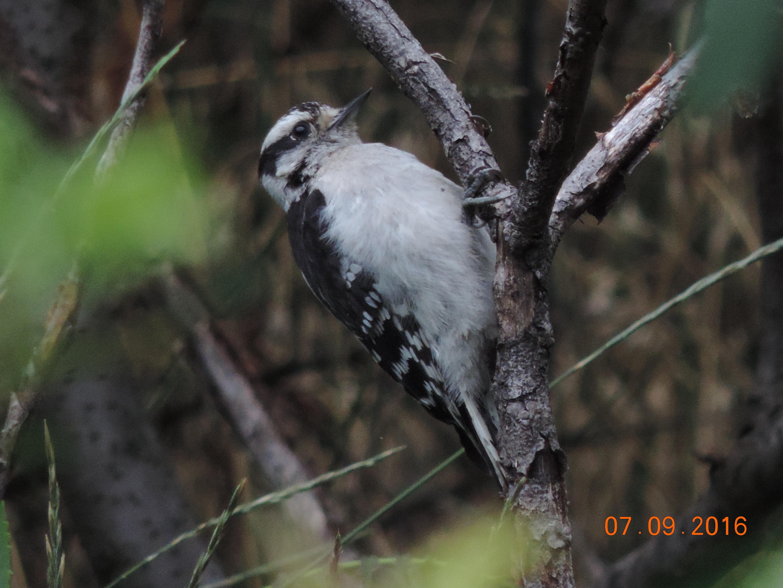 Downy Woodpecker DeKorte 7.9.16 Rich Brown