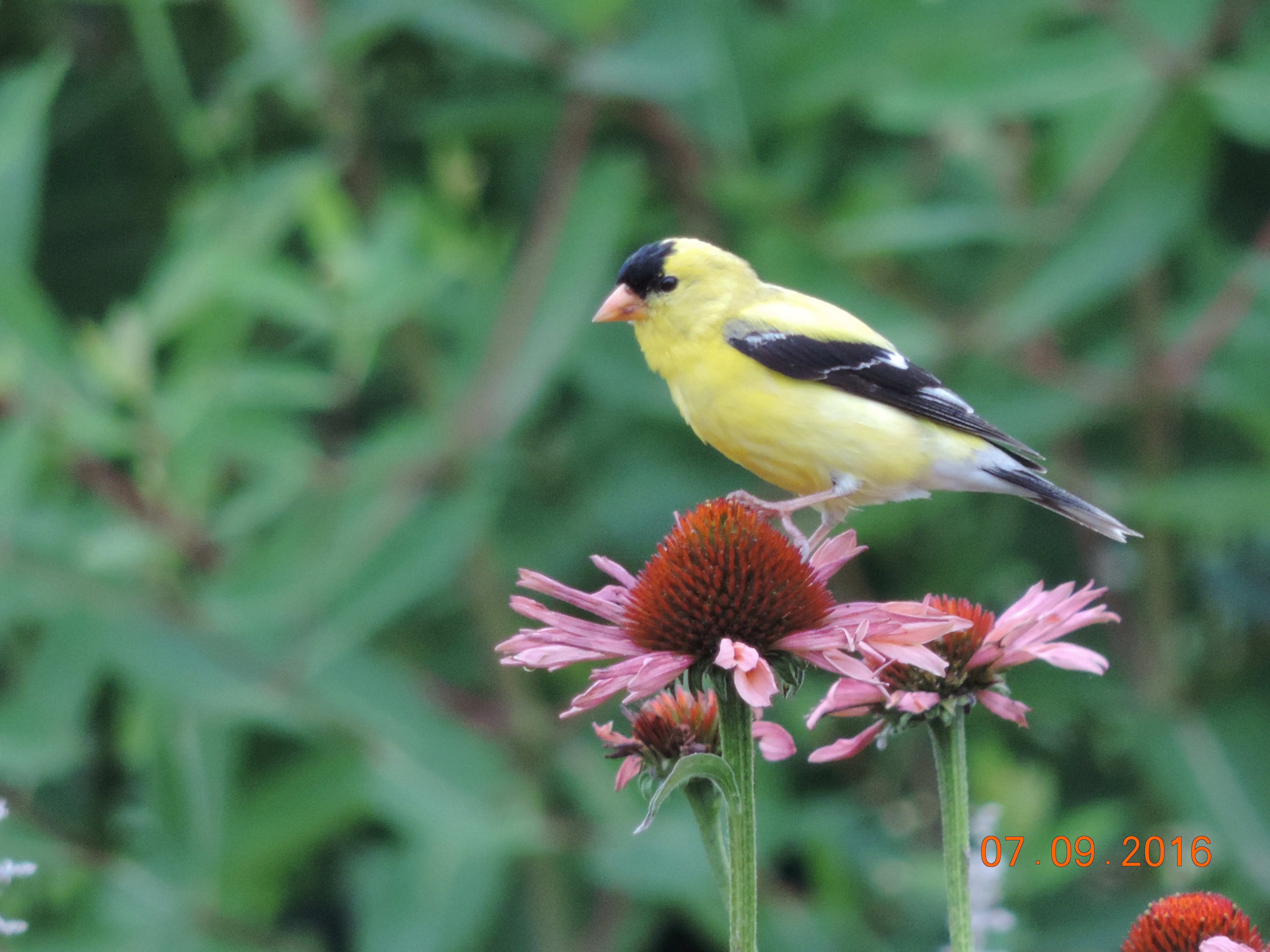 Goldfinch DeKorte 7.9.16 Rich Brown
