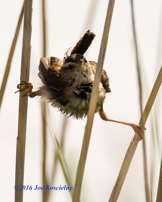 Immature Marsh Wren