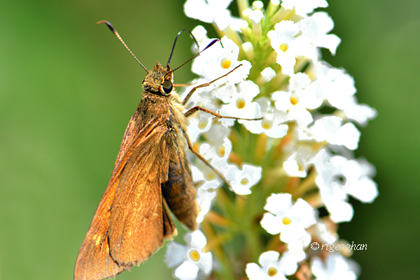 A view of a broad-winged skipper butterfly with wings closed on a white butterfly bush flower.
