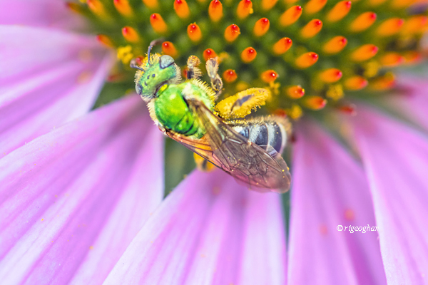 Augochlora pura is a solitary sweat bee found primarily in the Eastern United States. It is known for its bright greenr color. It forages on a variety of plants to feed on nectar first and then to collect pollen. It has pollen pockets on its legs.