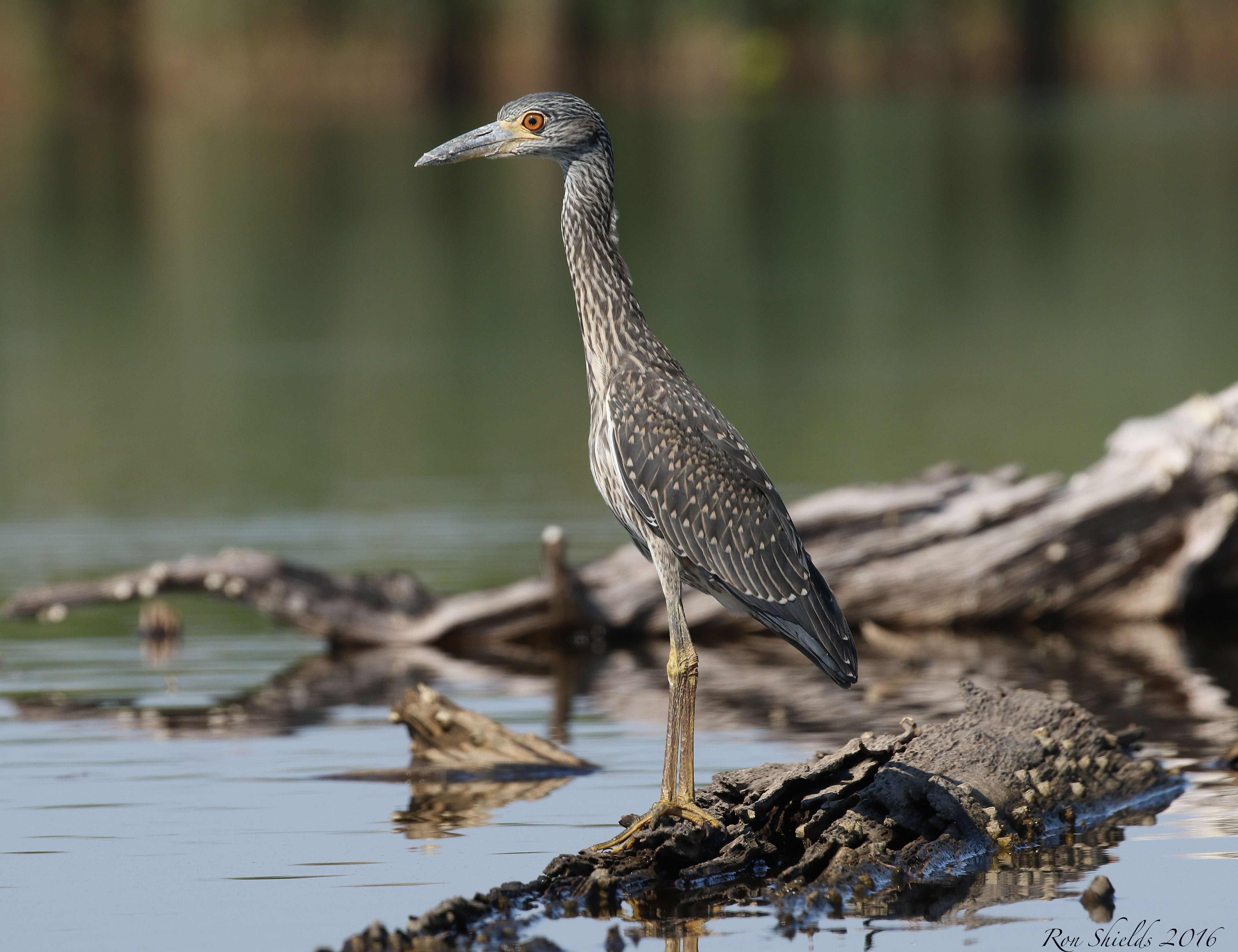 Yellow Crowned Night Heron2 Kearny Marsh Shields 7.29.16