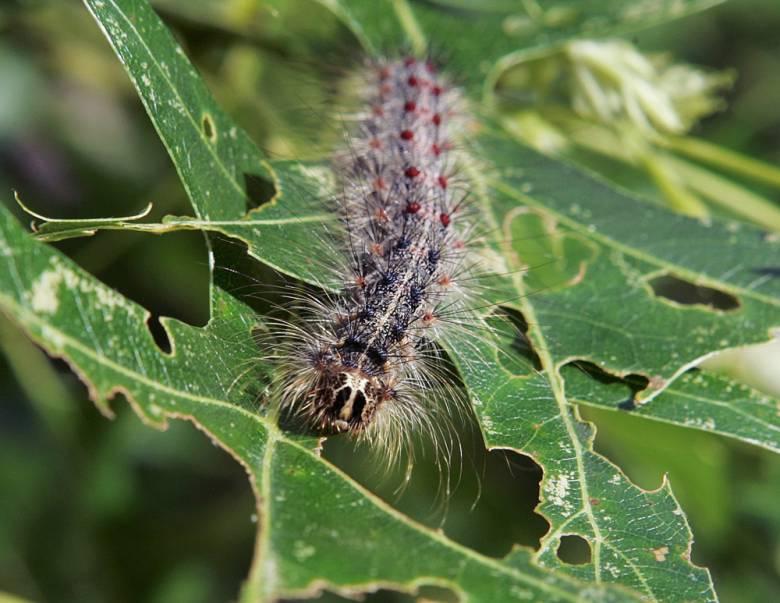 gyspy-moth