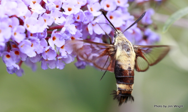 Jim Wright clear-winged moth 8.1.16