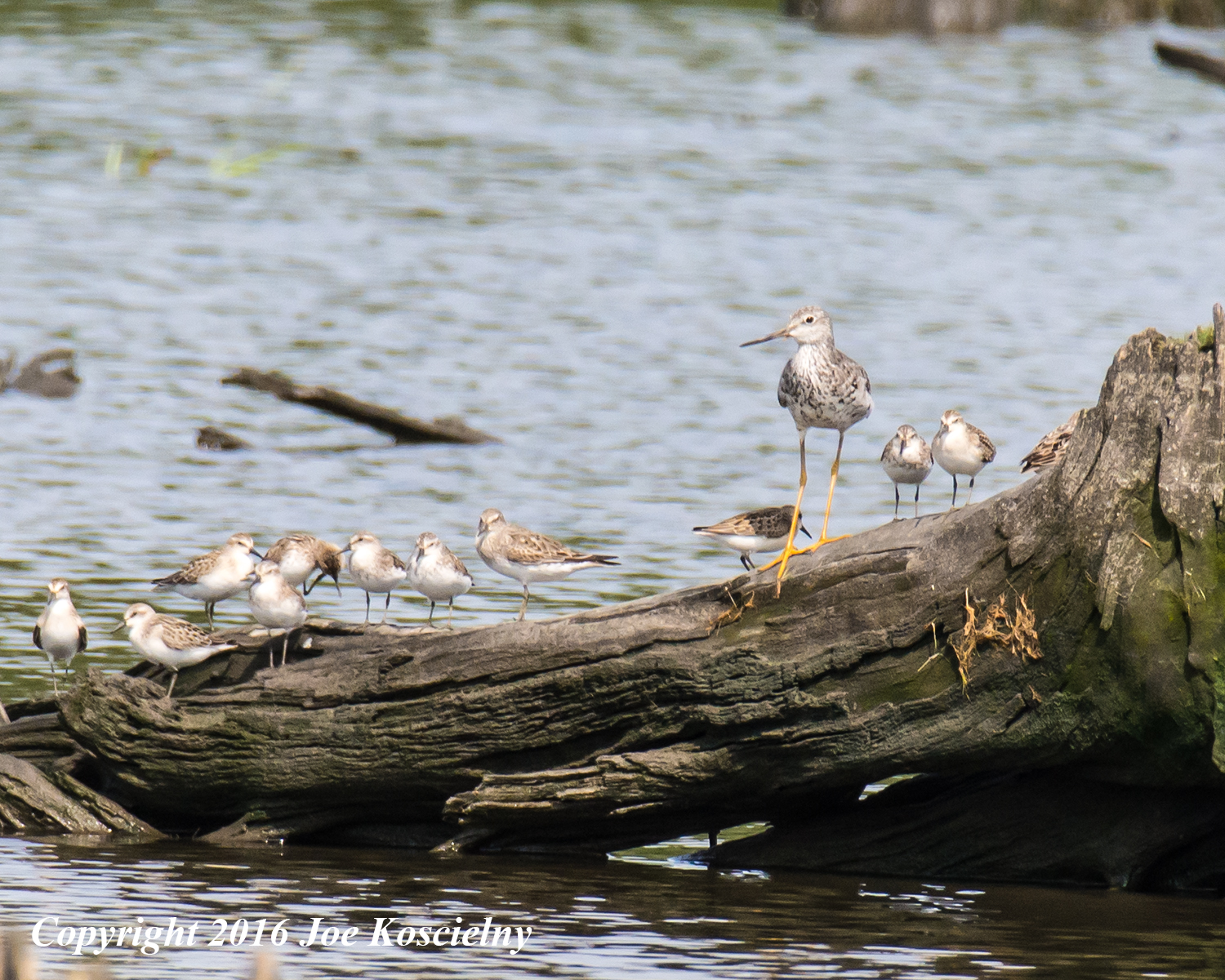 Greater Yellowlegs and Sandpipers