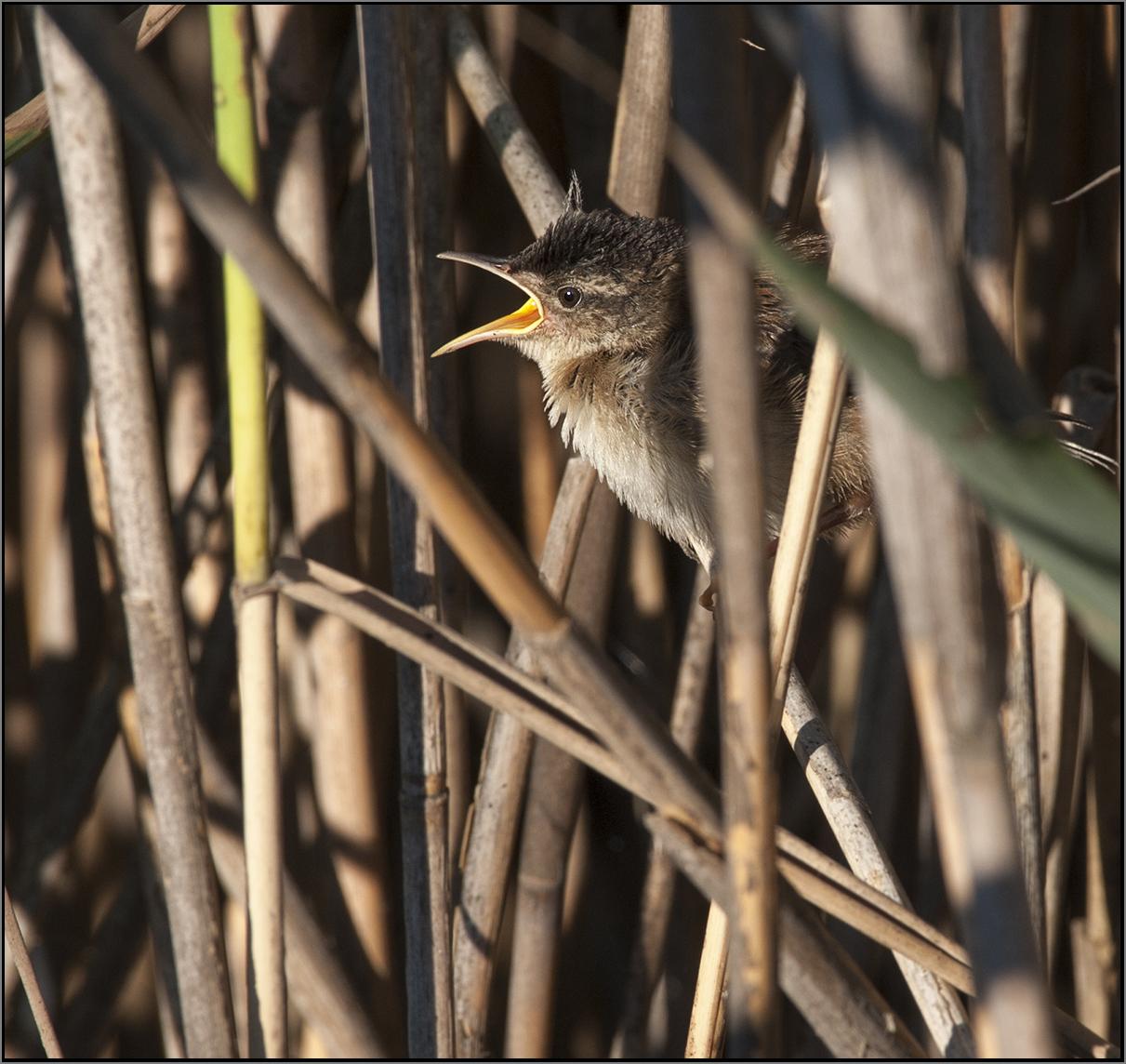 Marsh Wrens3 Marco MDT 8.16