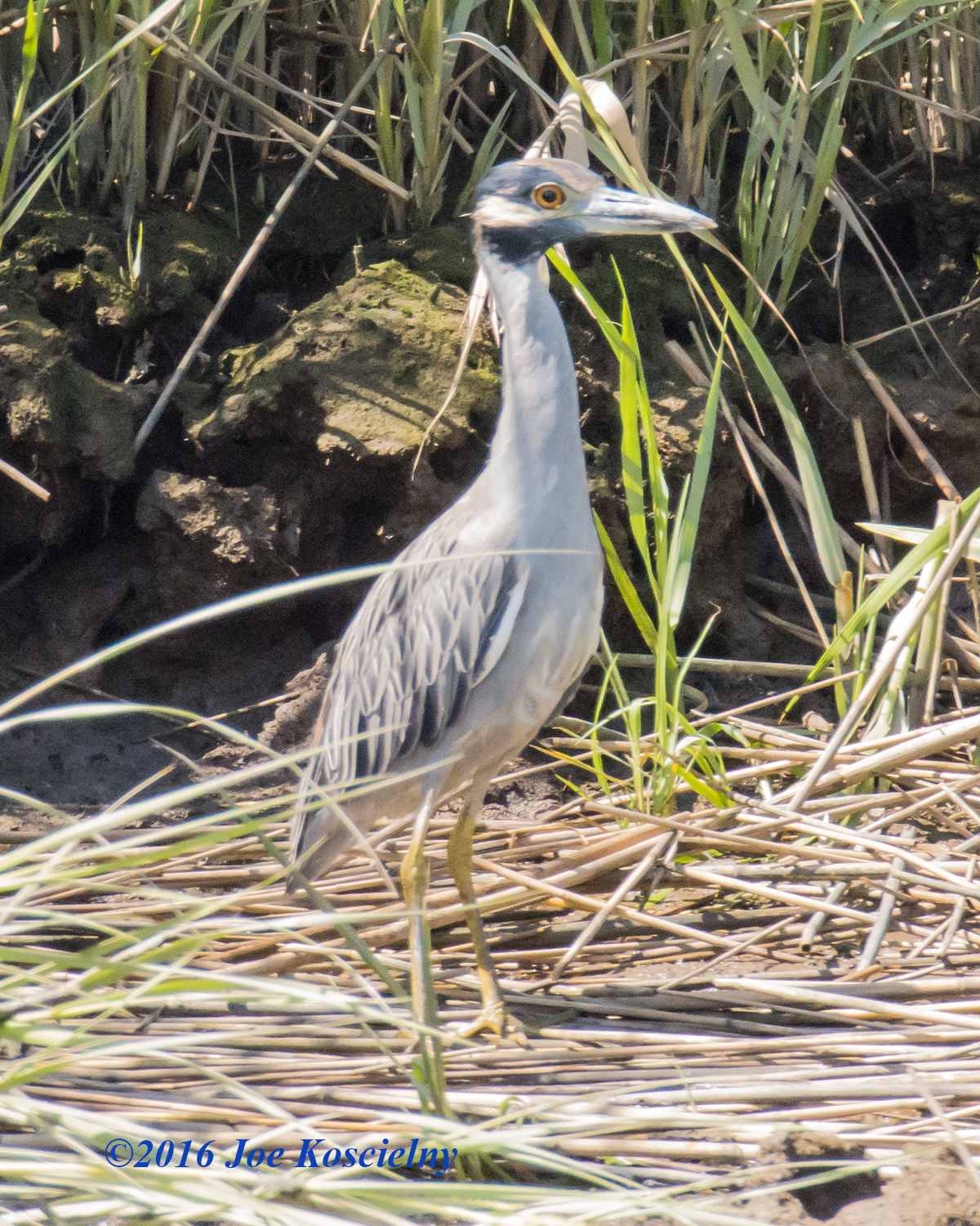 NJSEA Pontoon 8-9-16- Black-crowned Night Heron-7