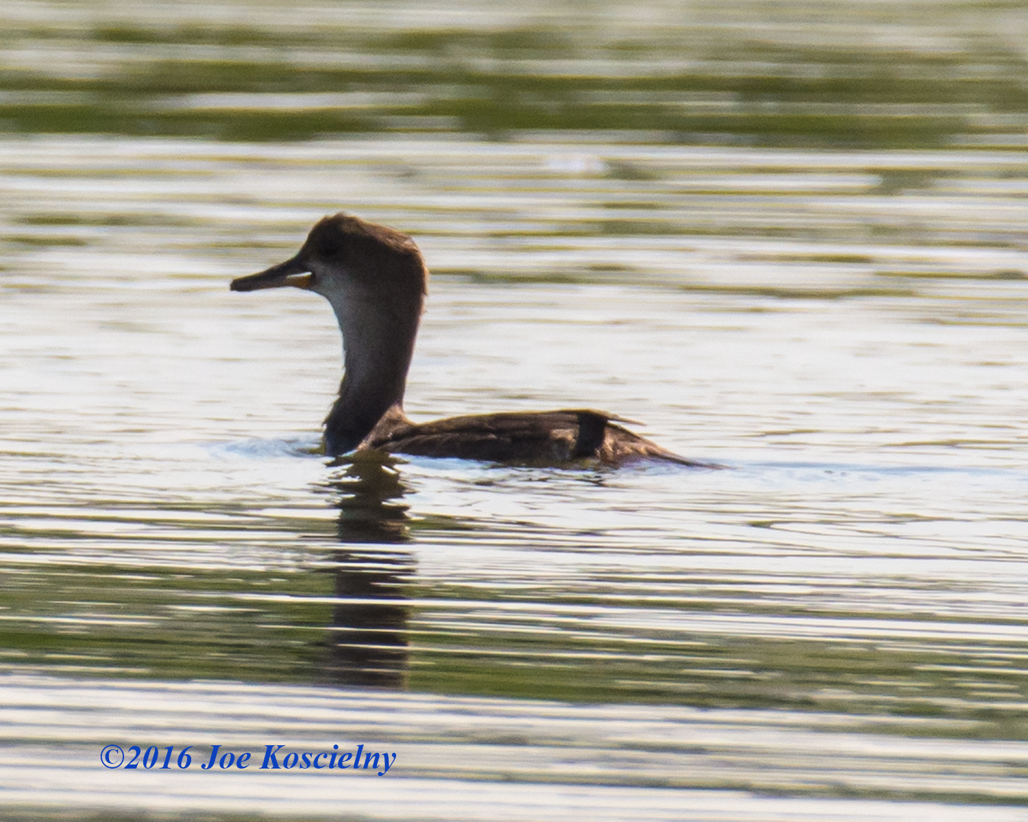 immature female hooded merganser 8.9.16