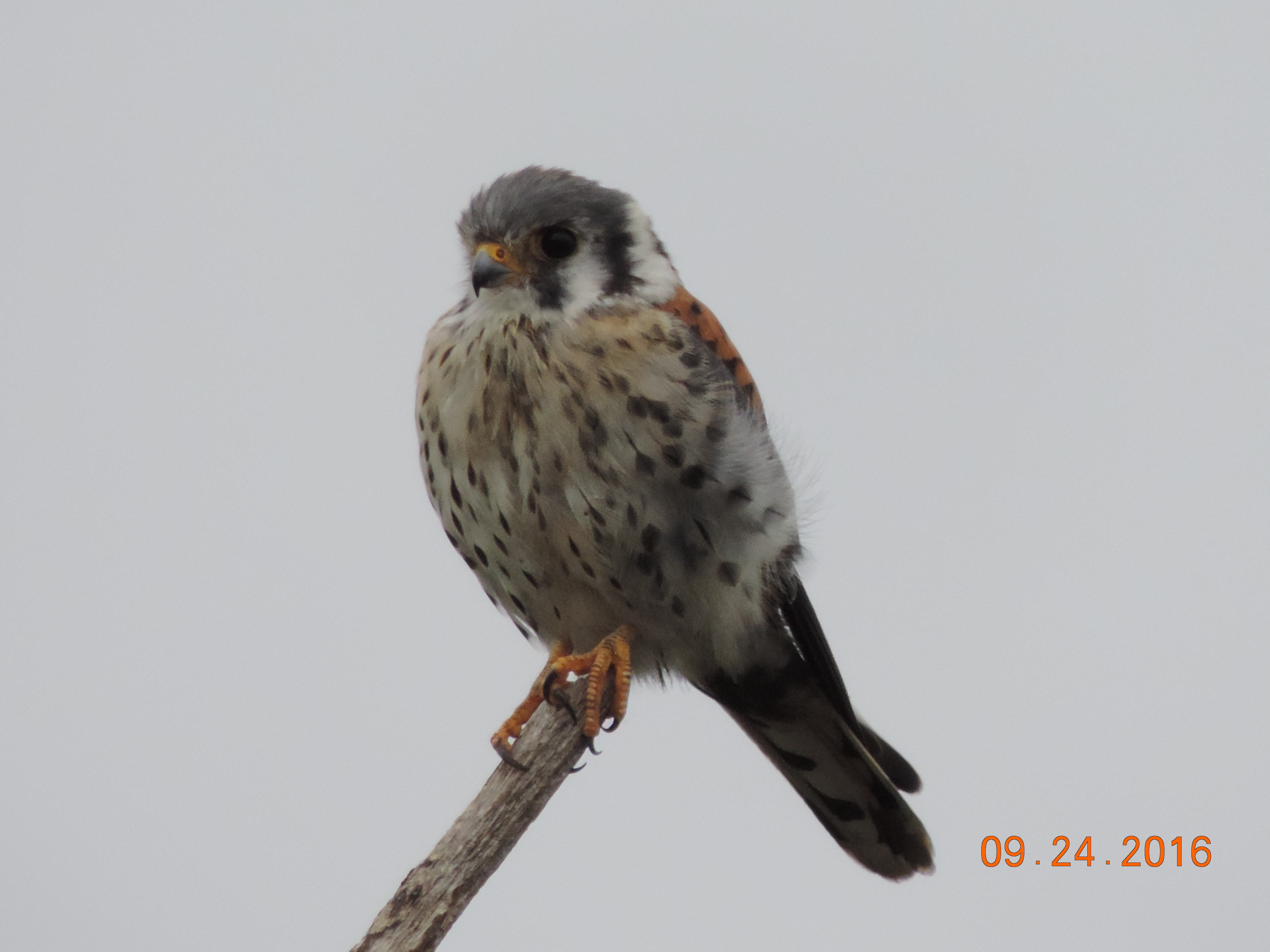 american-kestrel-rbp-rich-brown-9-24-16