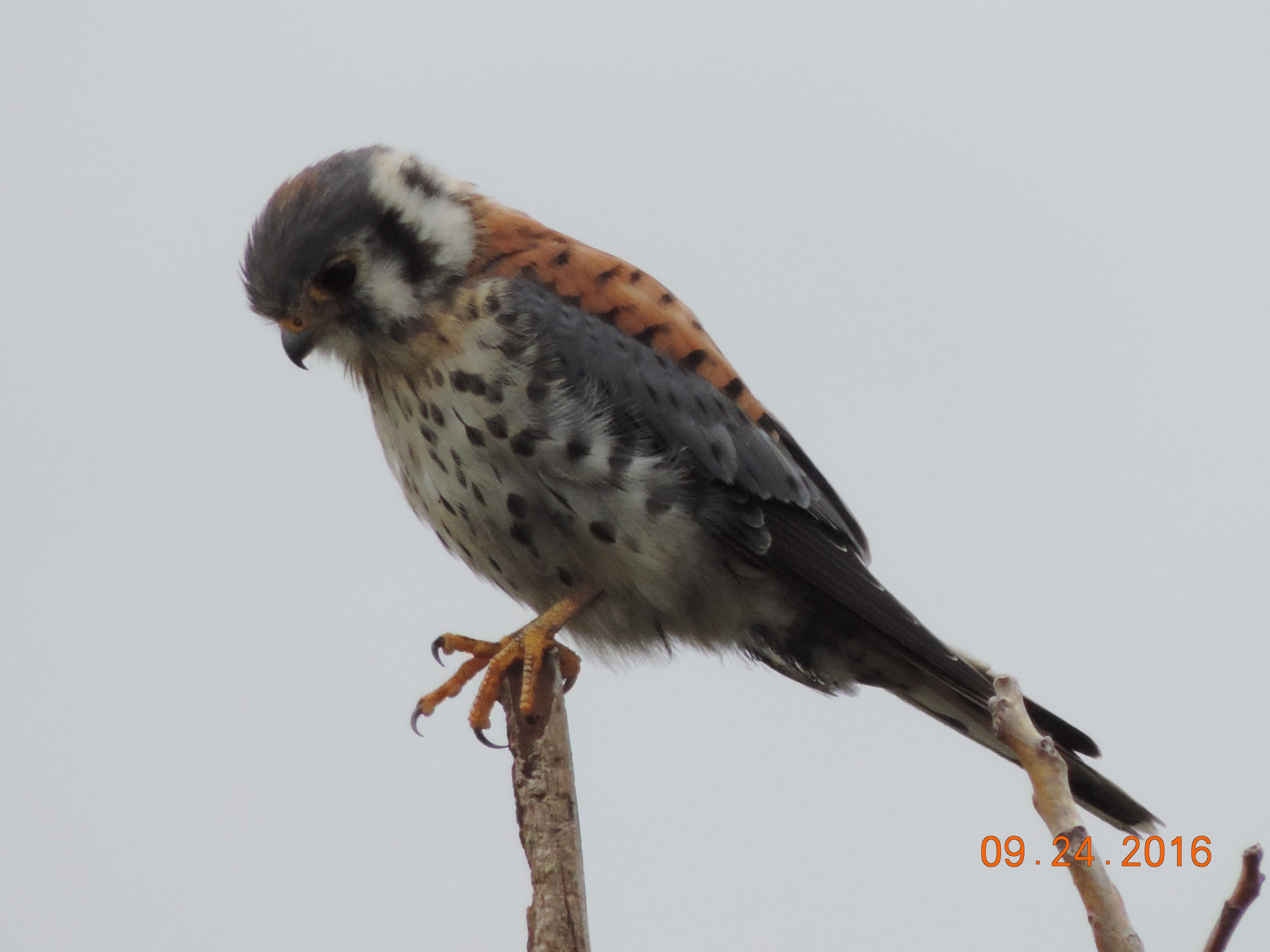 american-kestrel2-rbp-rich-brown-9-24-16