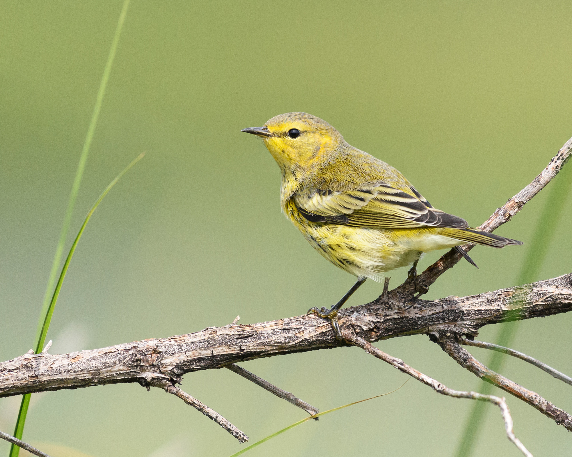 capemaywarbler-mcm-shayna-marchese