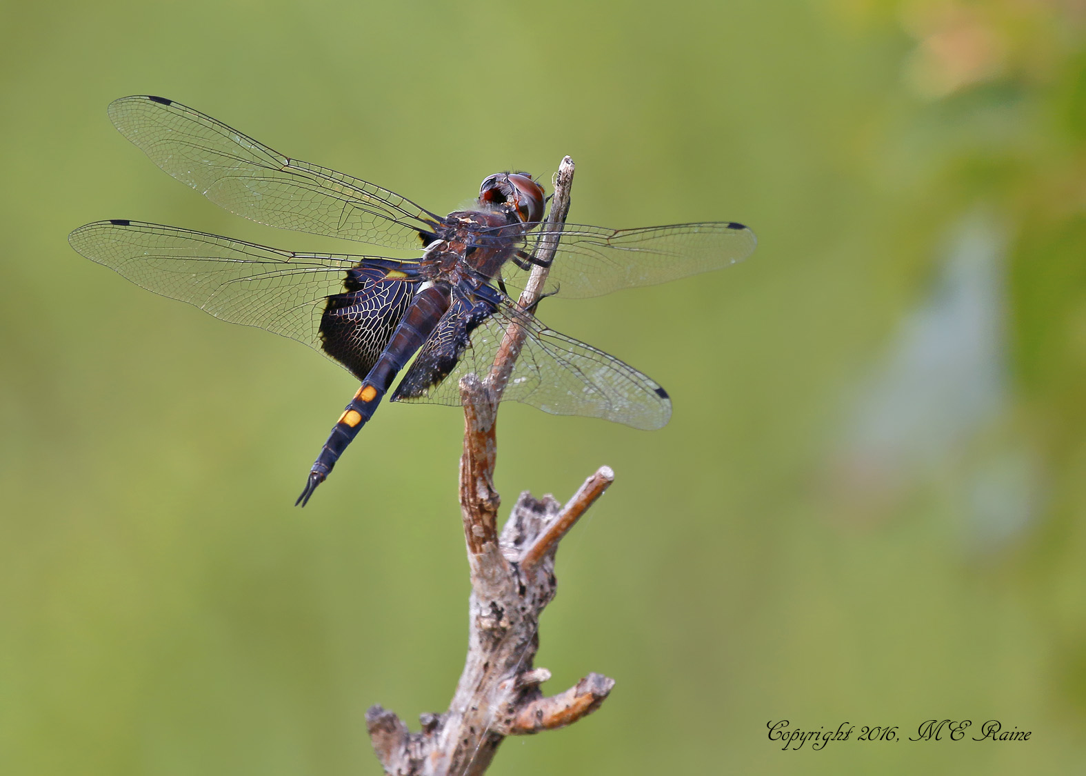 dragonfly-saddlebag-black-001bf-mcm-mdwlnds-nj-090316-ok-flickr