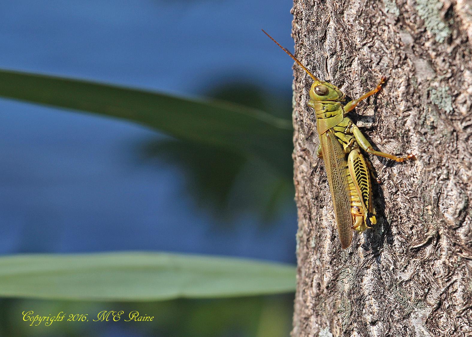grasshopper-dekorte-mickey-9-4-16