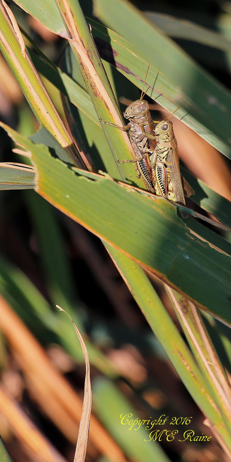 grasshoppers-dekorte-mickey-9-4-16