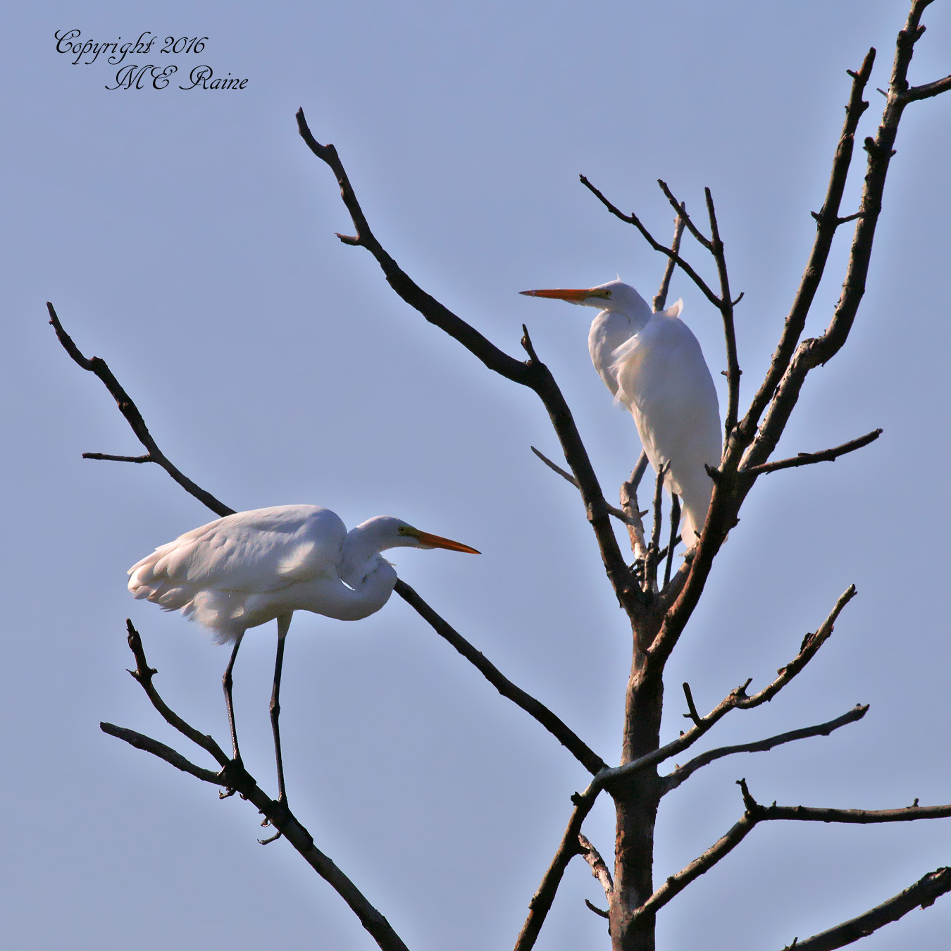 great-egrets2-dekorte-mickey-9-3-16