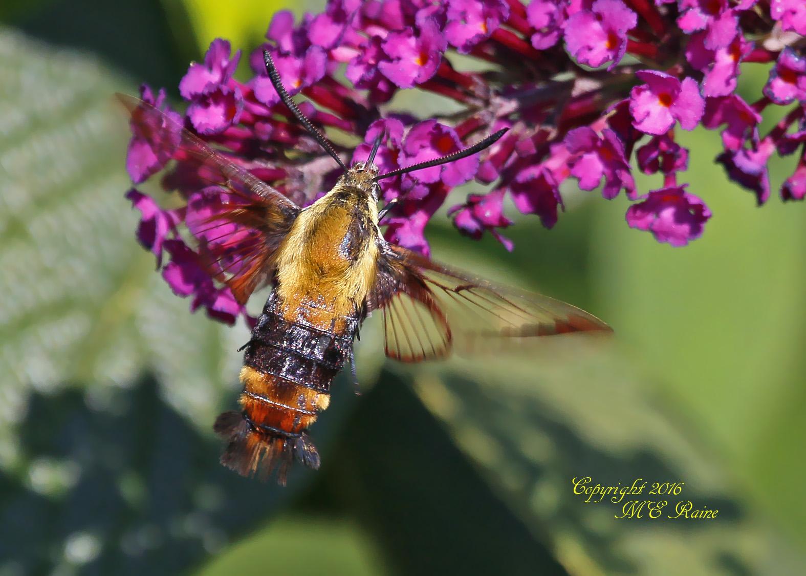 hummingbird-moth-dekorte-mickey-9-4-16