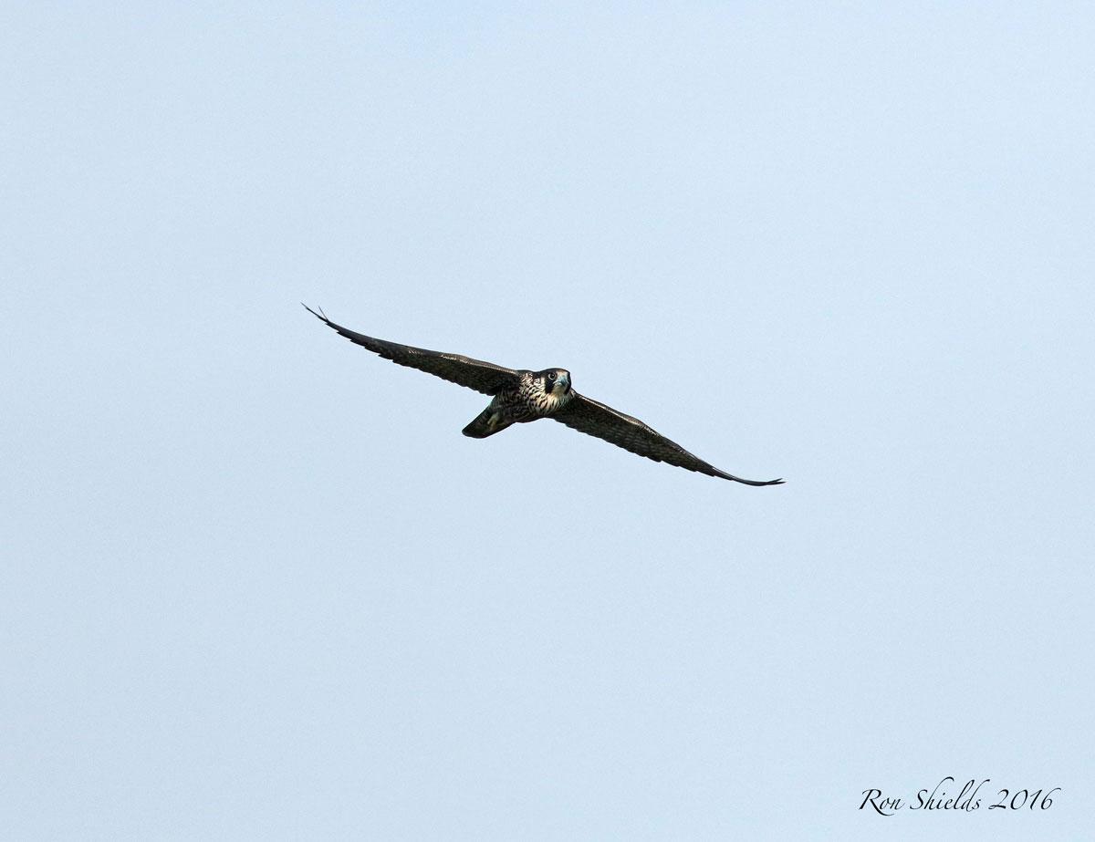 immature-peregrine-falcon-shields-reduced-wma-9-12-16